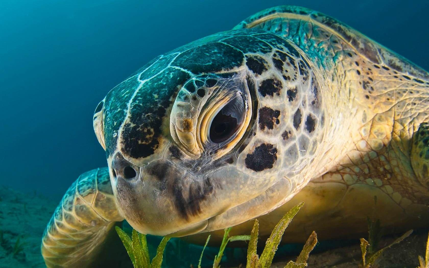 Sea Turtle Wallpapers Wallpaper Cave