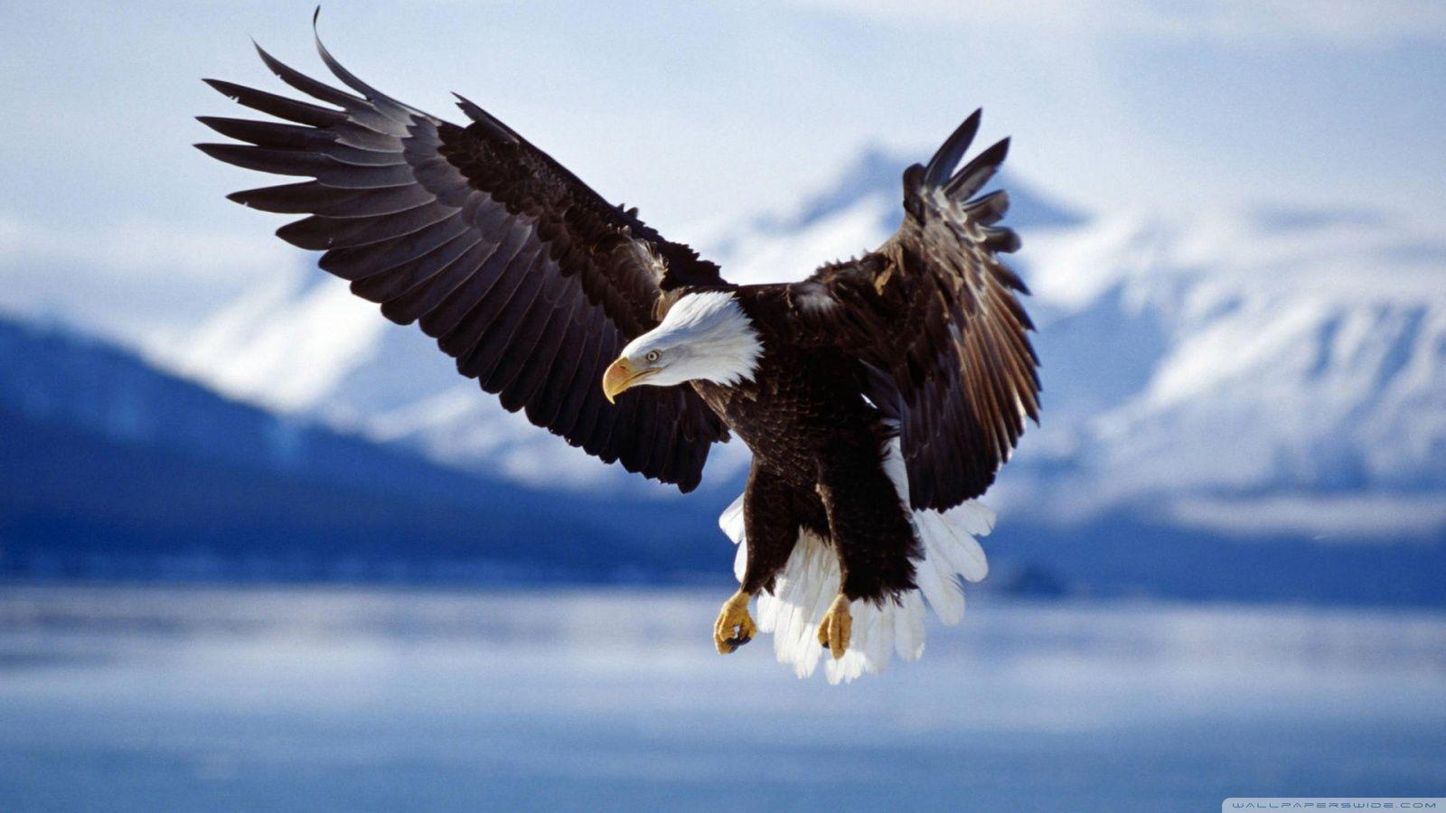 Bald Eagle HD desktop wallpaper : Widescreen : High Definition ...