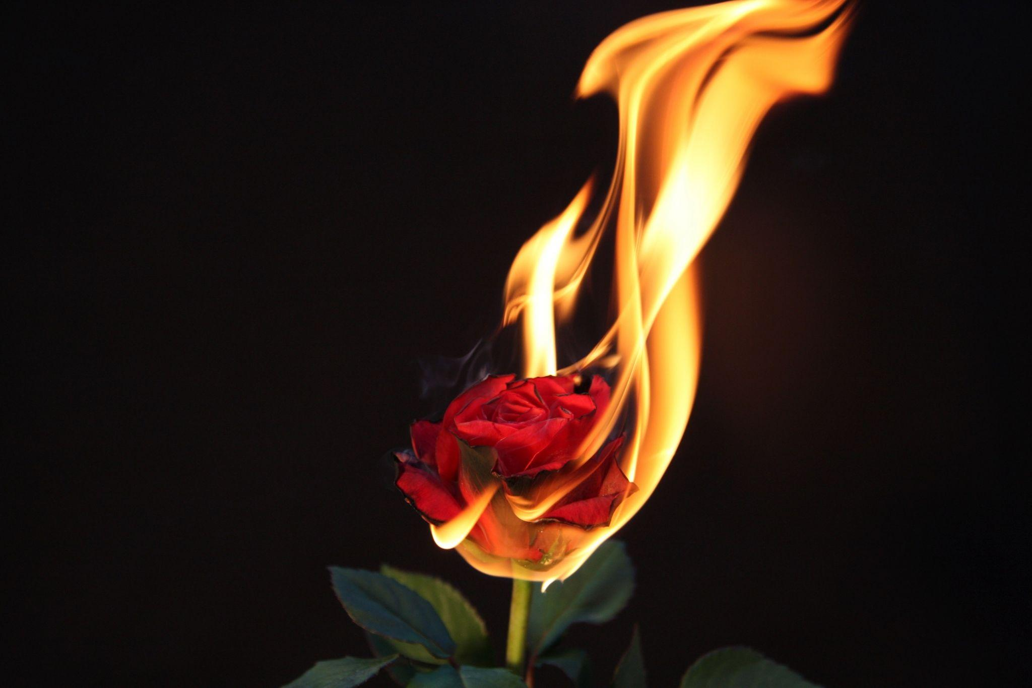 Burning Rose Wallpapers , Wallpaper Cave