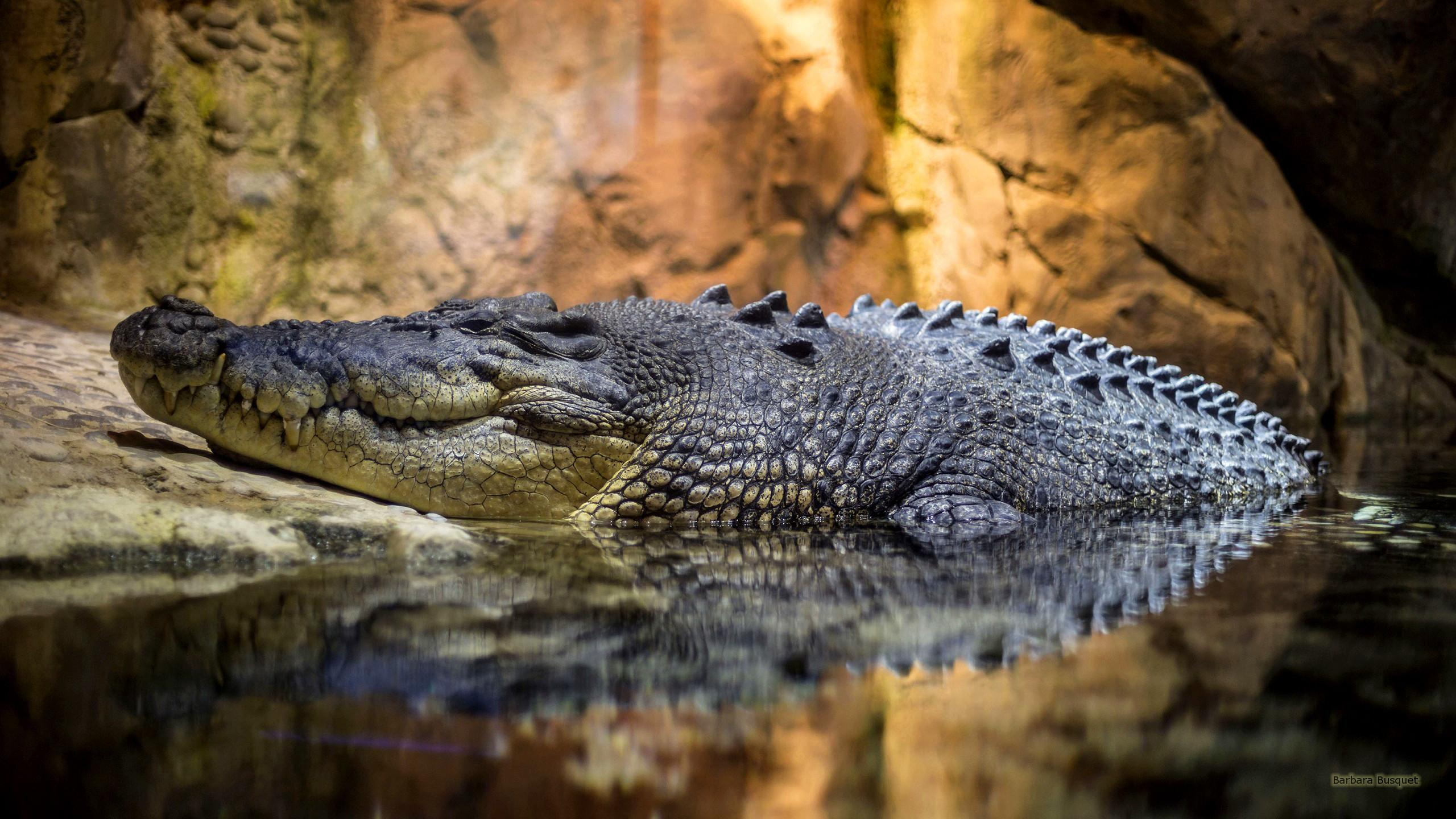 Crocodile Wallpapers Wallpaper Cave