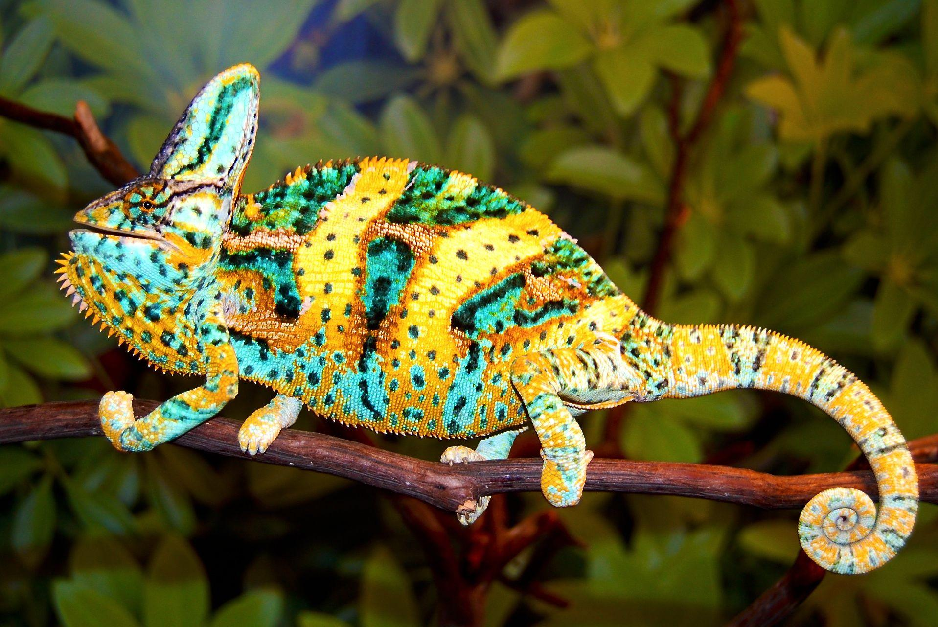 Chameleons Reptile Photos Free HD Wallpapers Download
