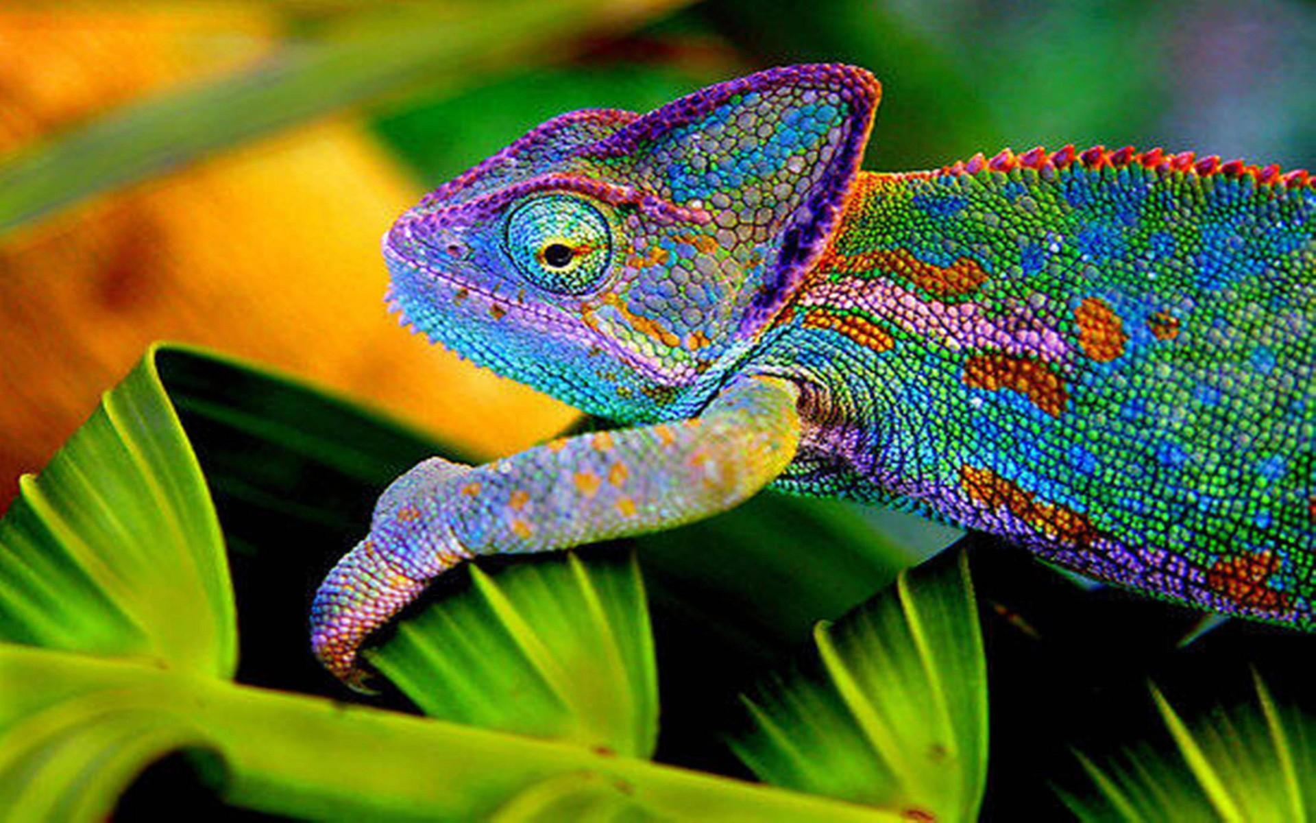 Chameleon Wallpapers 9