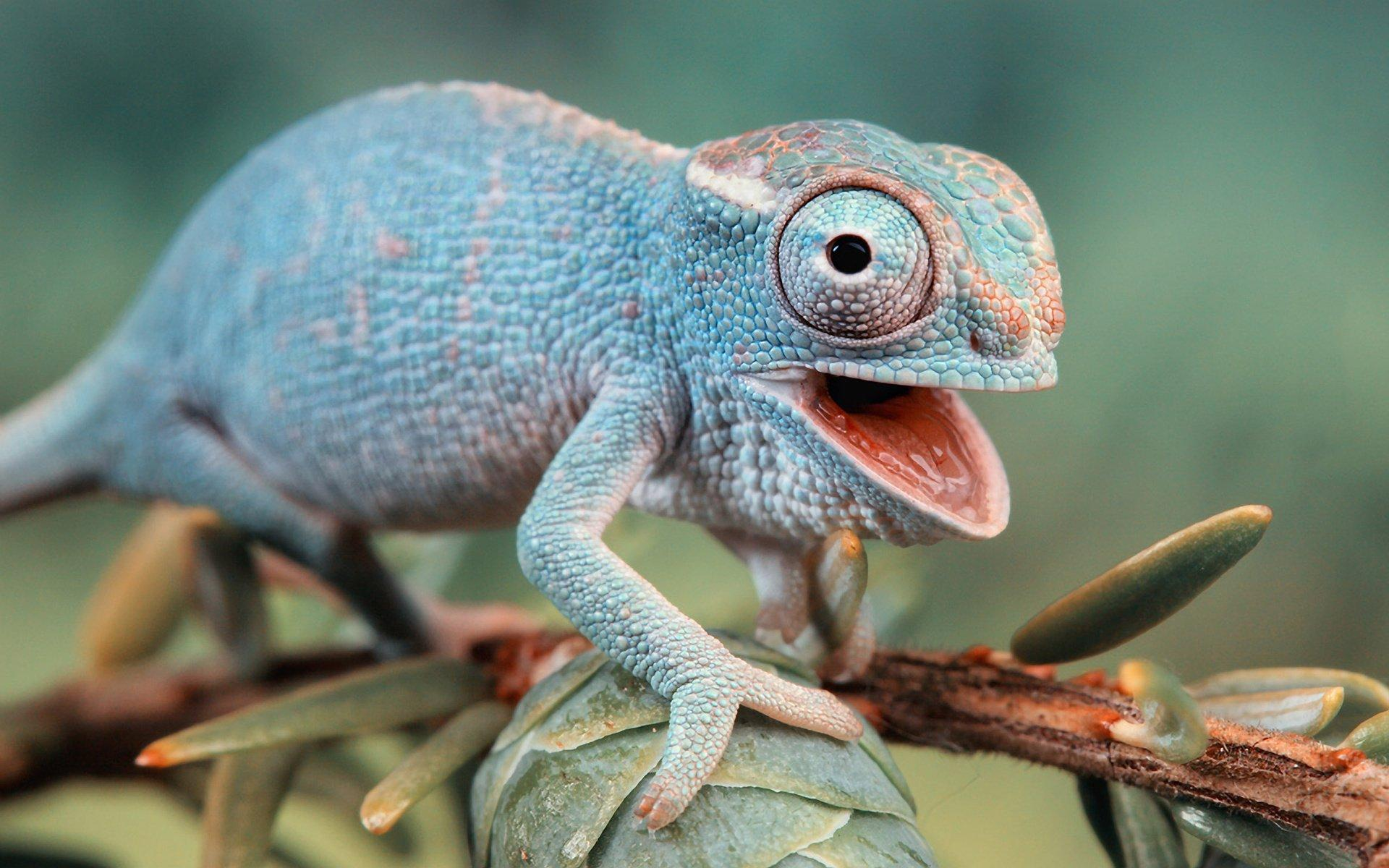 Chameleon HD Wallpapers