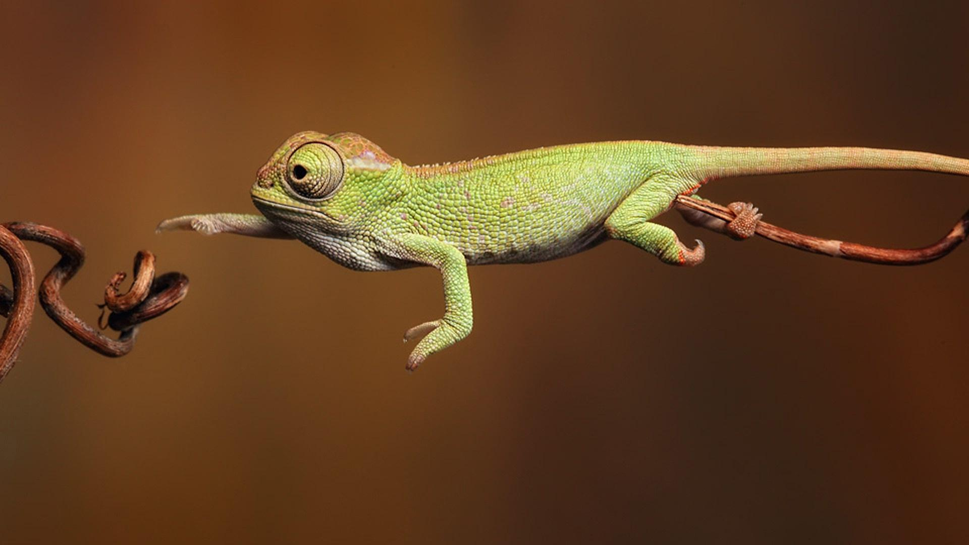 Chameleon Wallpapers HD Backgrounds, Image, Pics, Photos Free