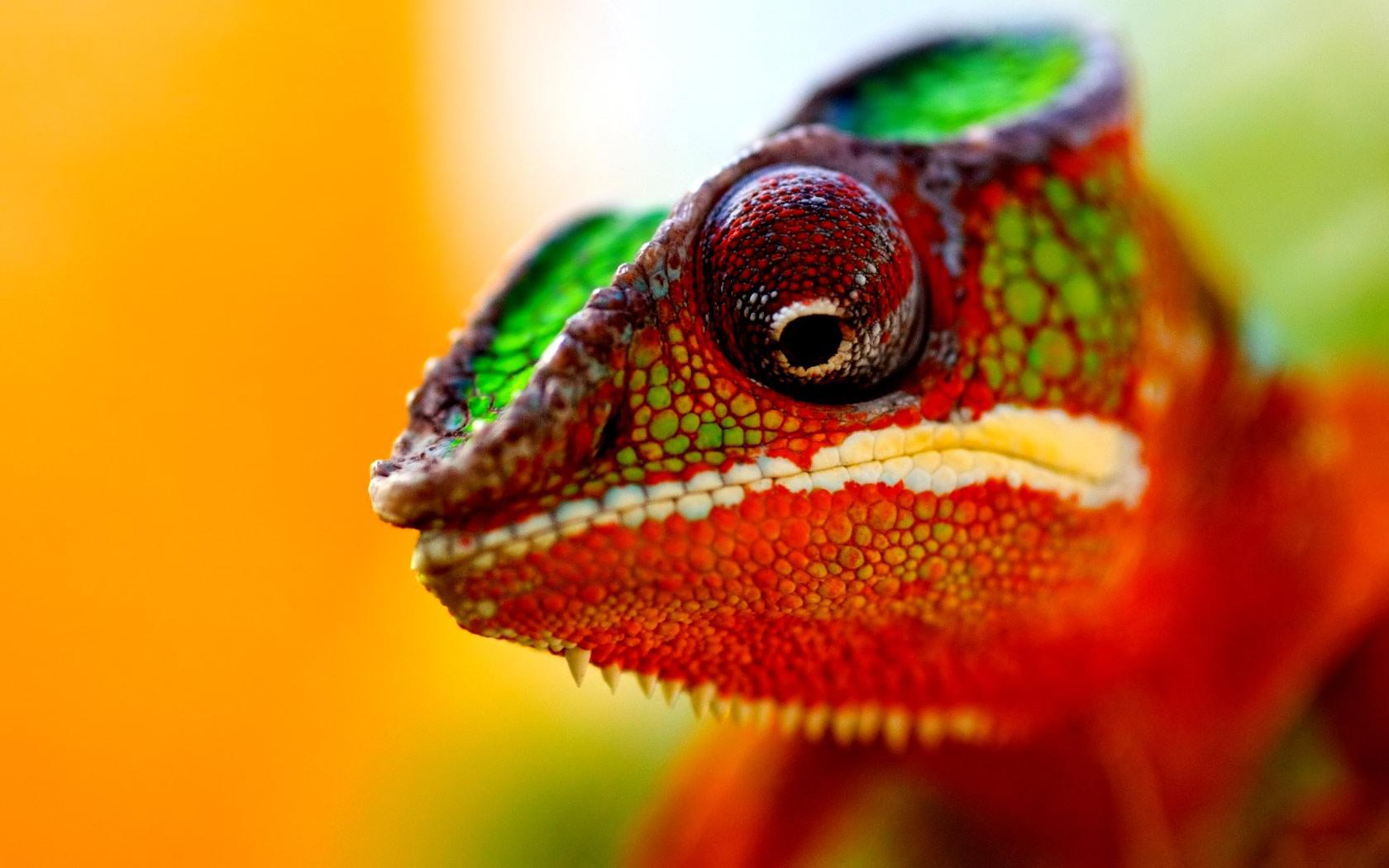 Chameleon Wallpapers 7