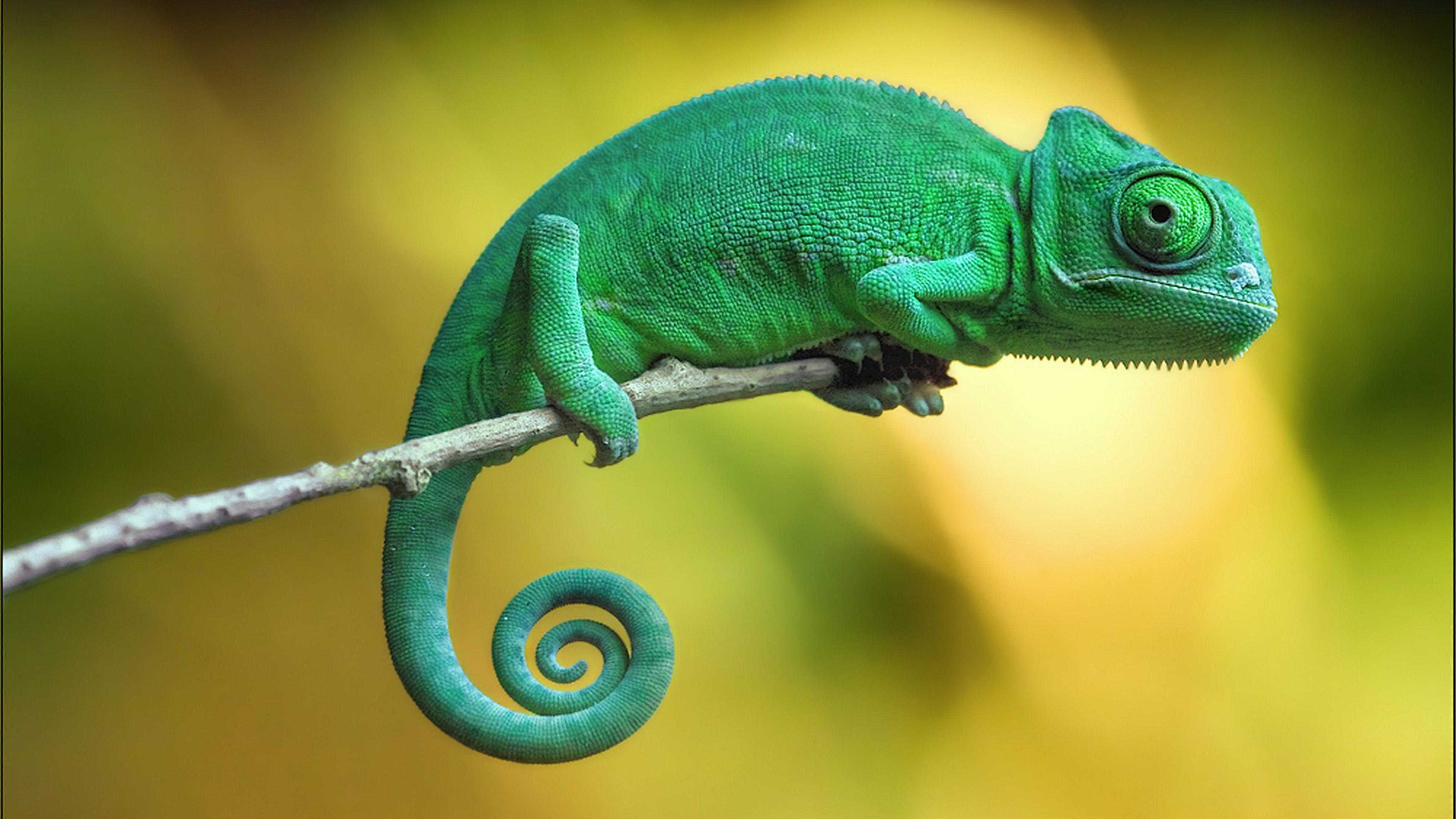Wallpapers chameleon, 4k, Animals