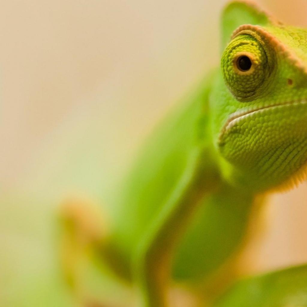 Chameleon Wallpapers 15