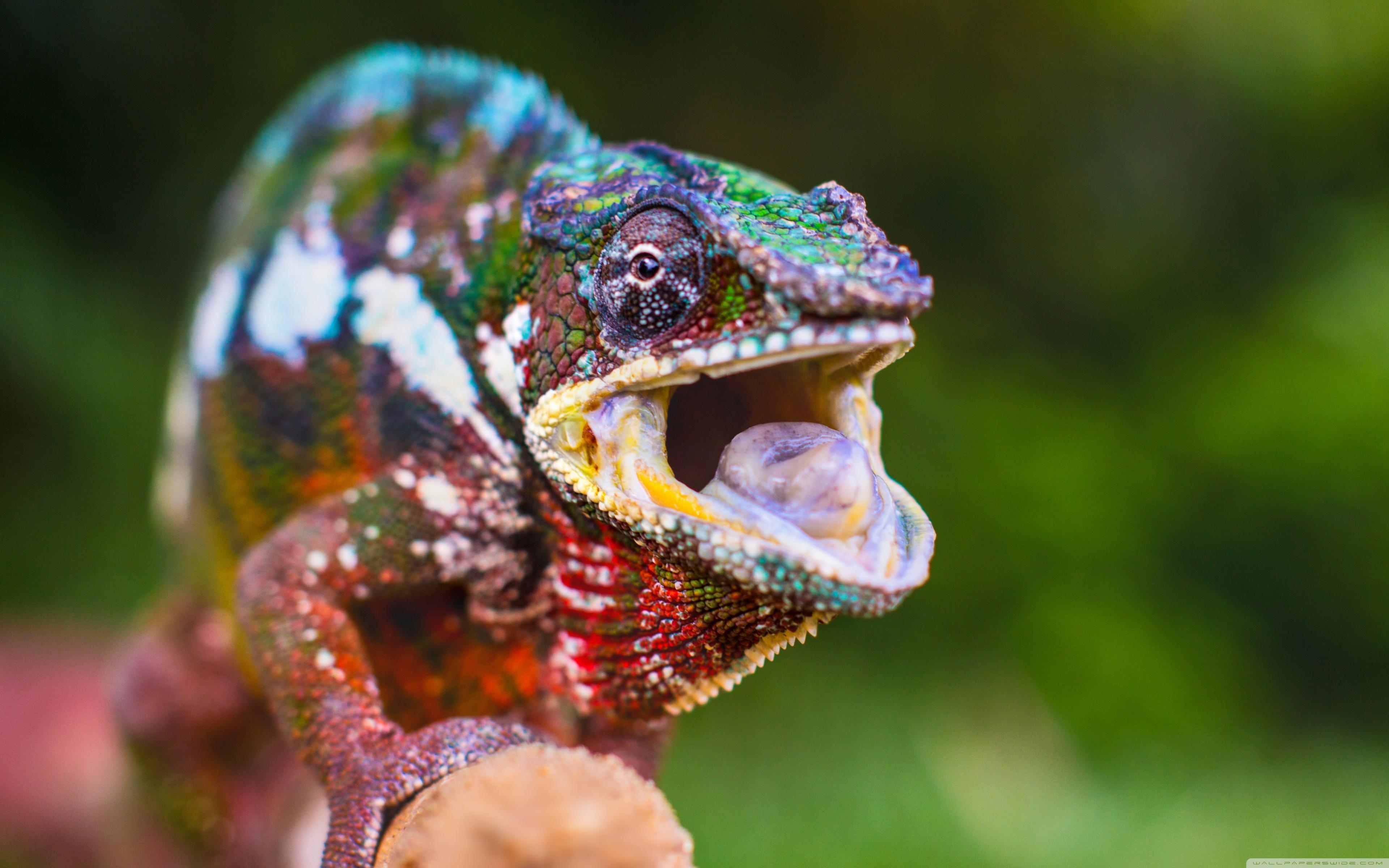 Chameleon Tongue ❤ 4K HD Desktop Wallpapers for 4K Ultra HD TV
