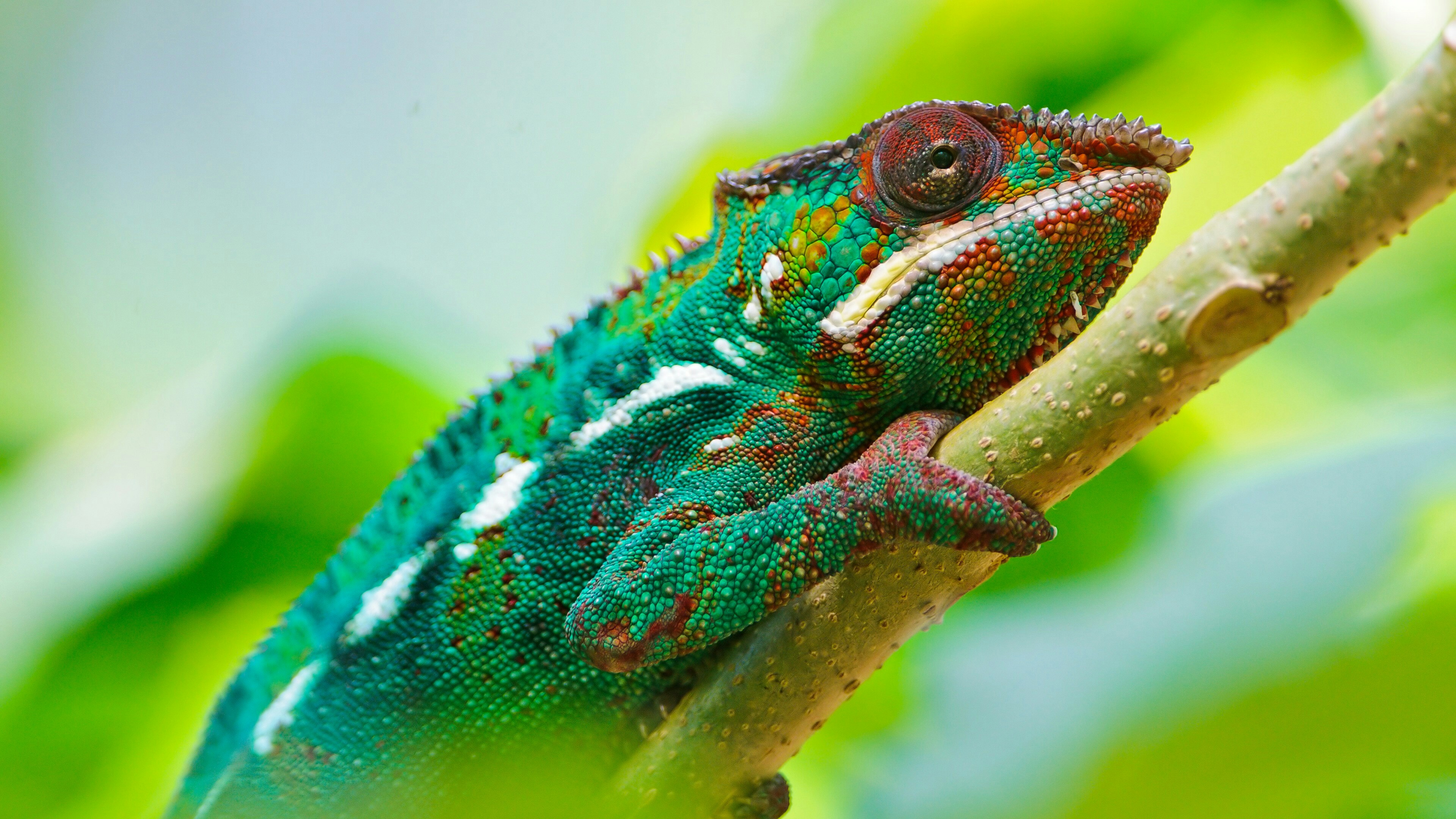 Colorful Chameleon 4K UltraHD Wallpapers