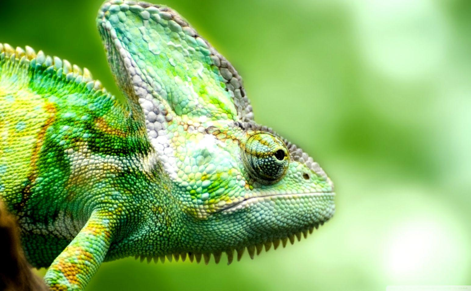 Lizard Chameleon Hd Wallpapers