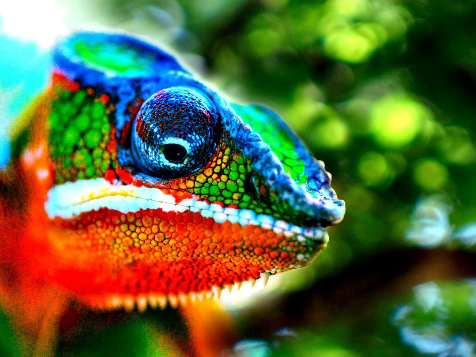 Chameleon Wallpapers 5