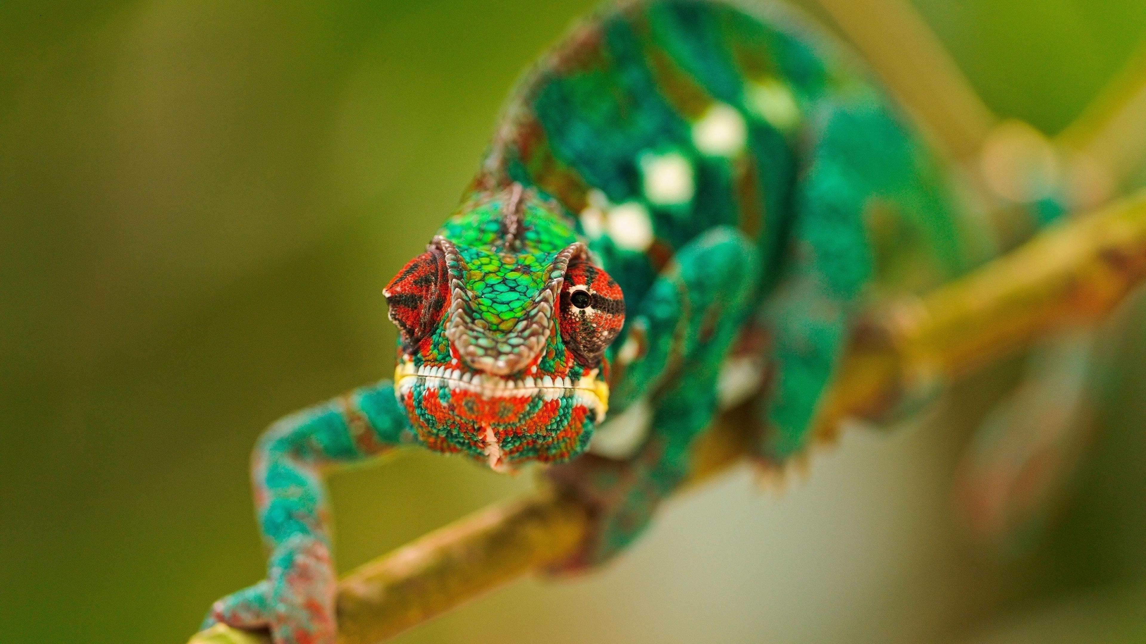 Chameleon Wallpapers Widescreen