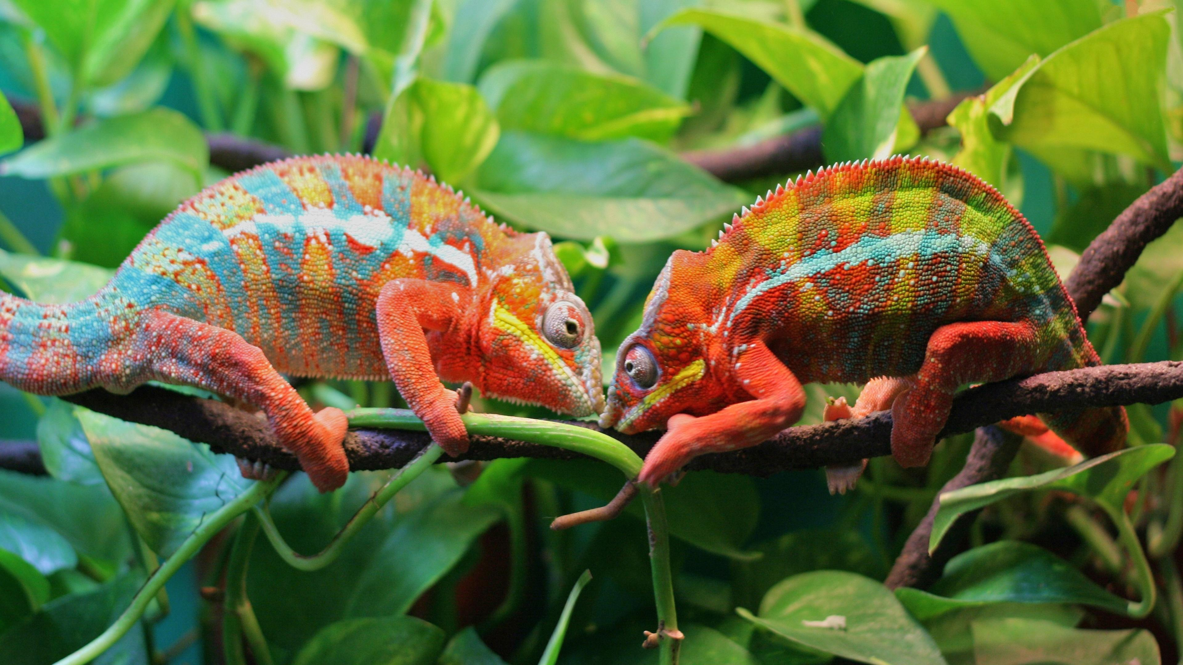 Two Chameleons On A Tree 4K UltraHD Wallpapers