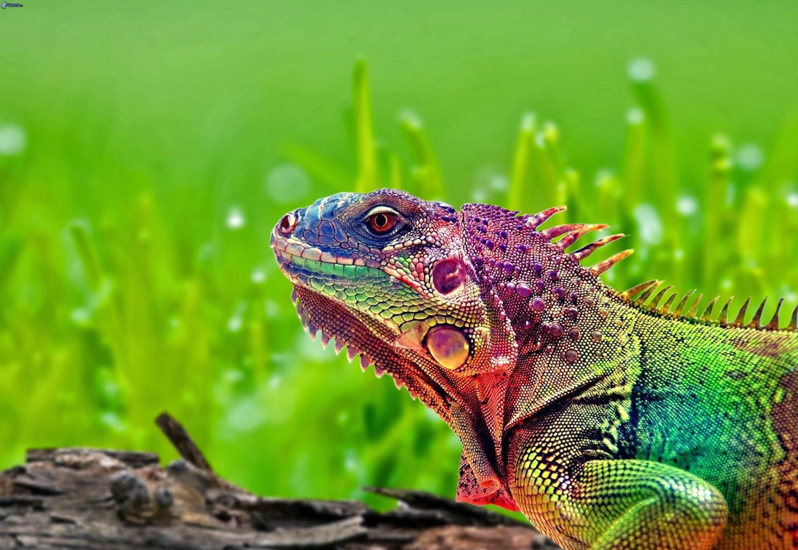 Pictures of Colorful Chameleon Wallpapers