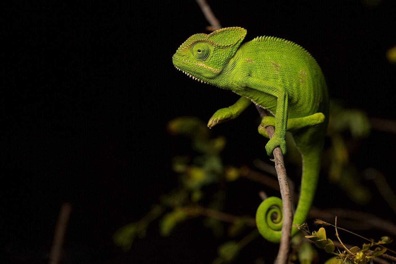 Wallpapers Chameleon Green Branches Animals