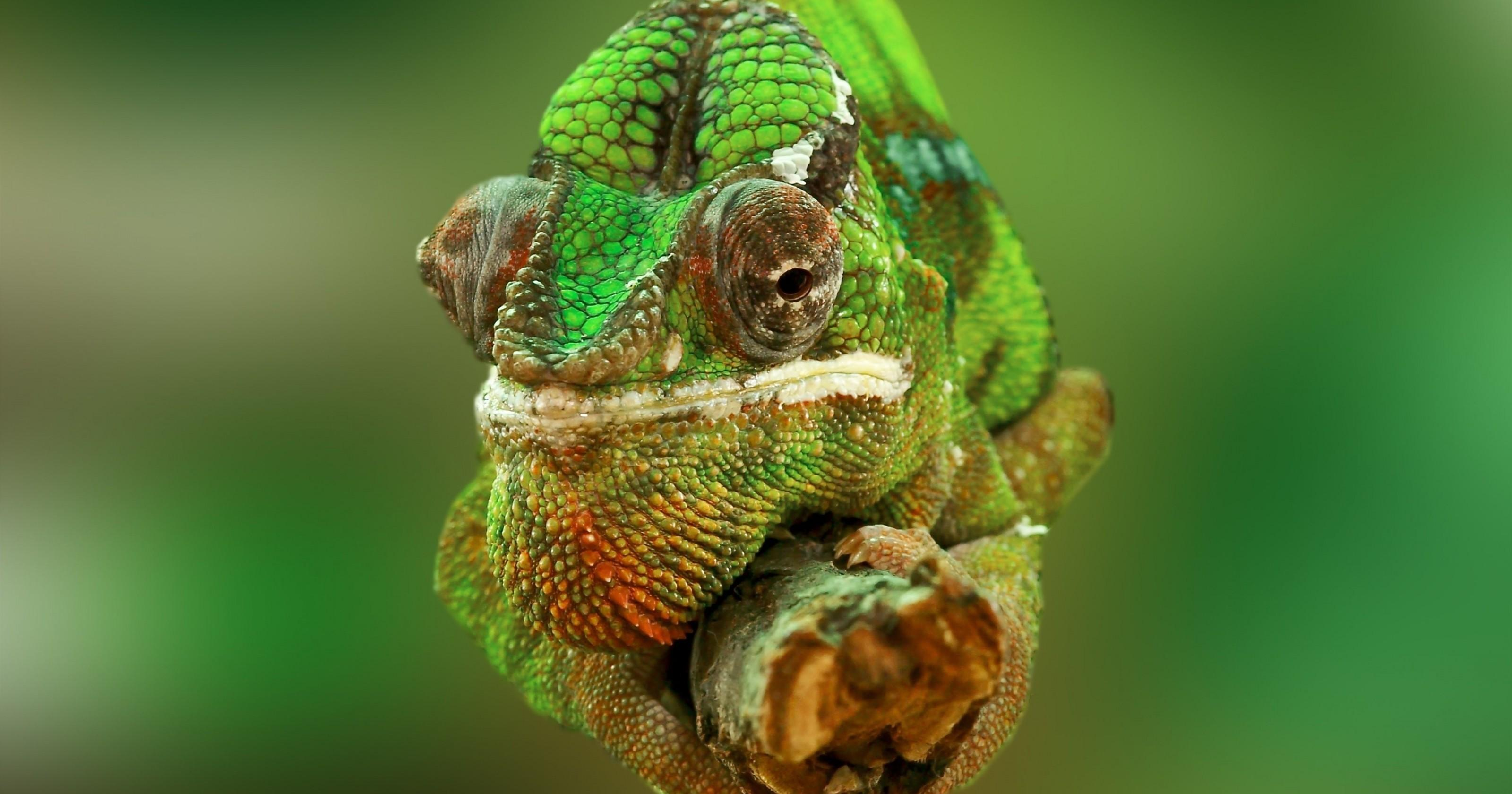 Download 3200x1680 Chameleon, Close