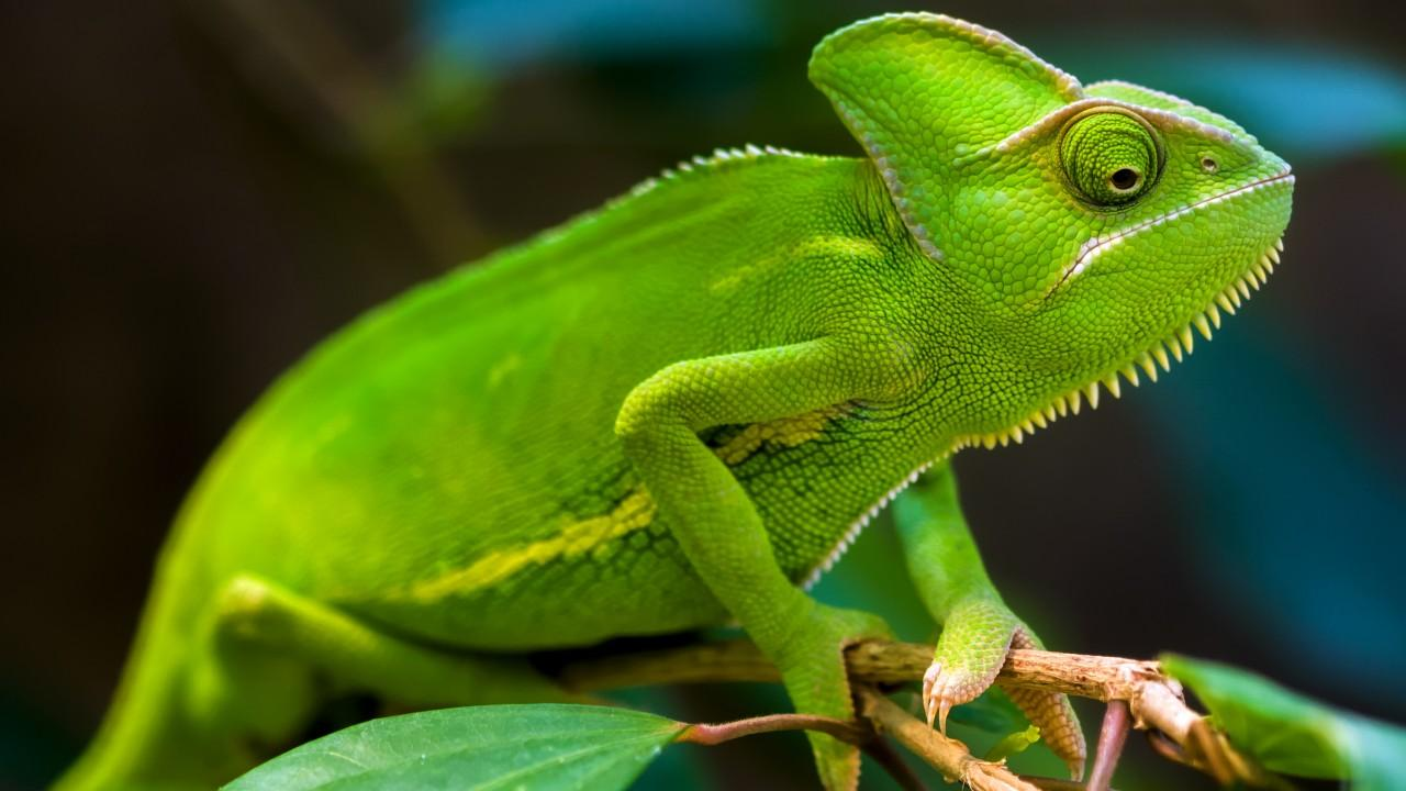 Wallpapers Chameleon, Green, HD, Animals,