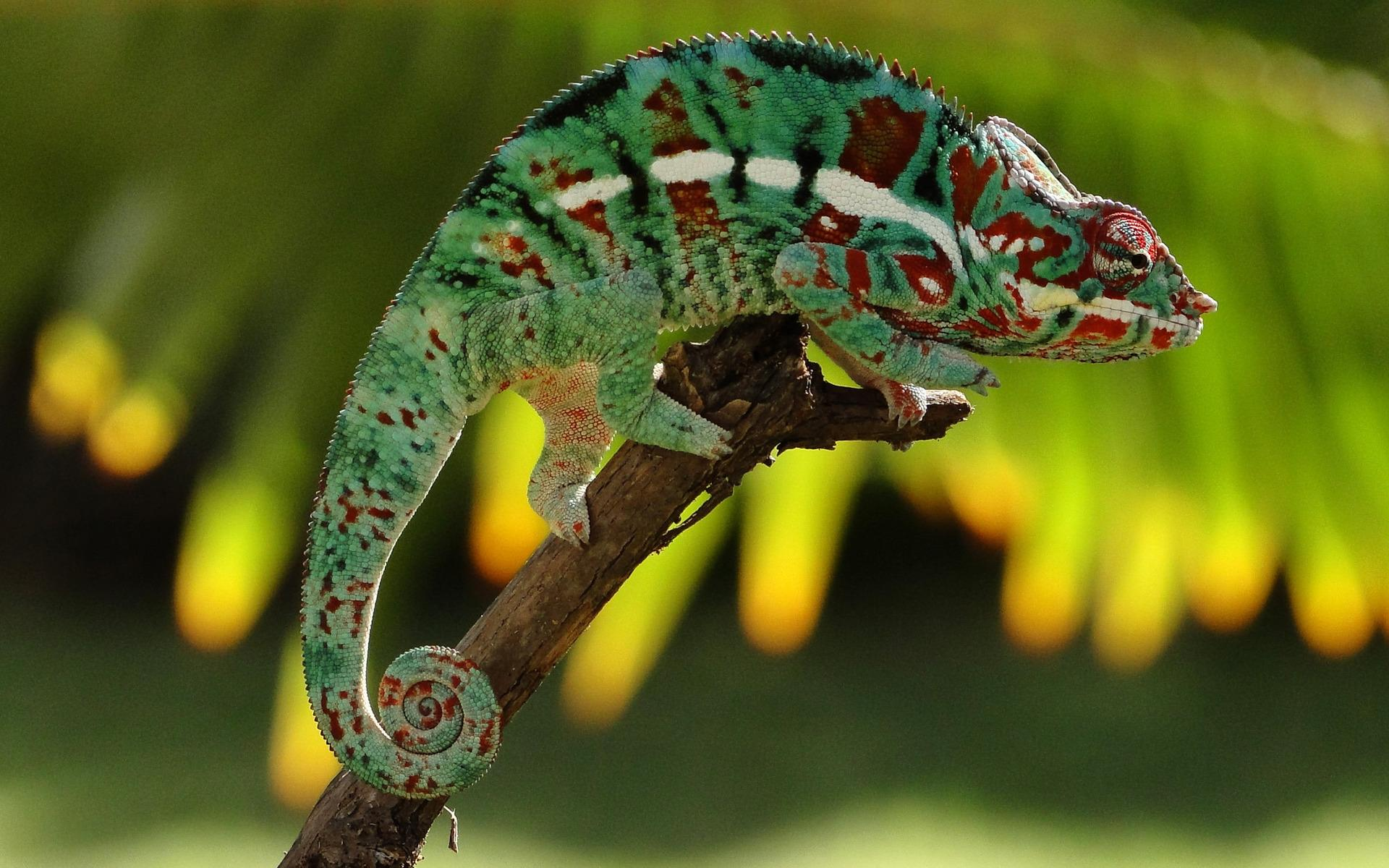 Best Chameleon Wallpapers Image