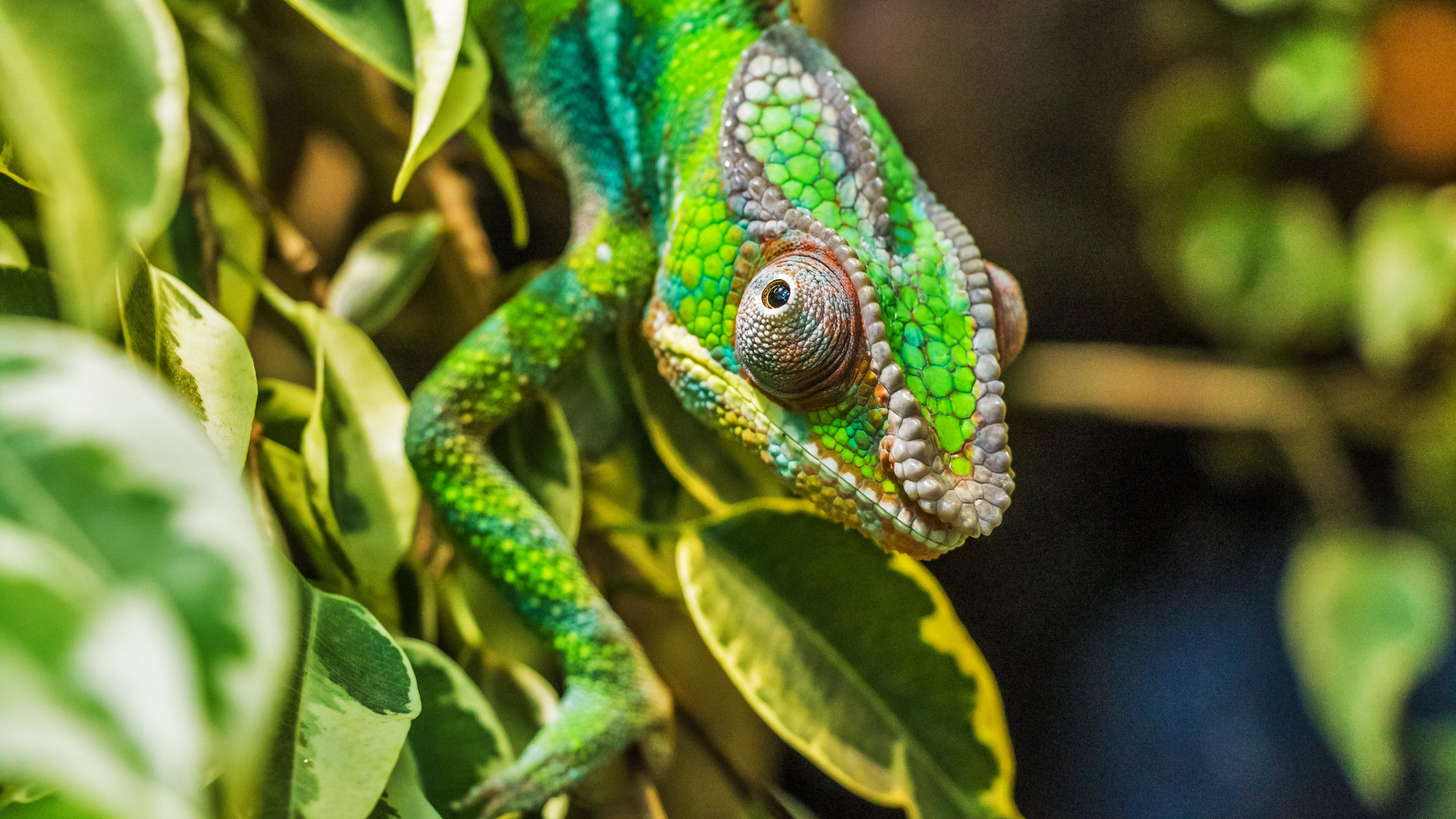 Chameleon Wallpapers, Pictures, Image