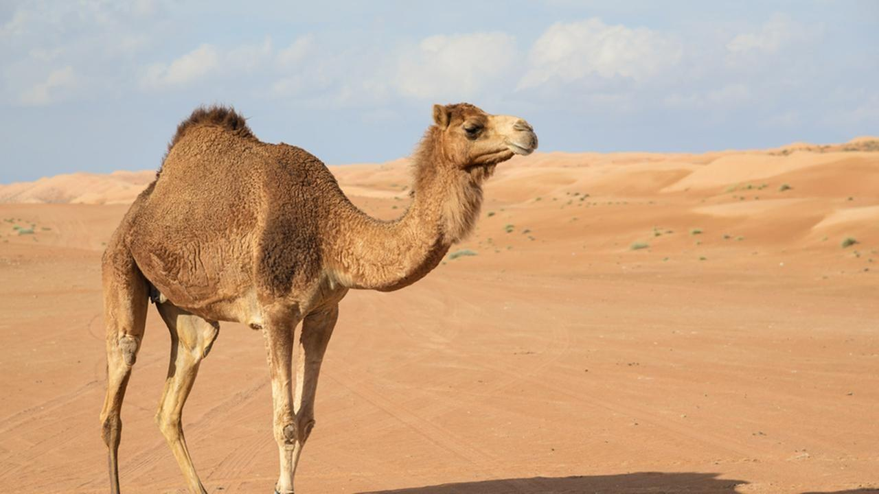 Camel Wallpapers, Image, Photos, Pictures & Pics