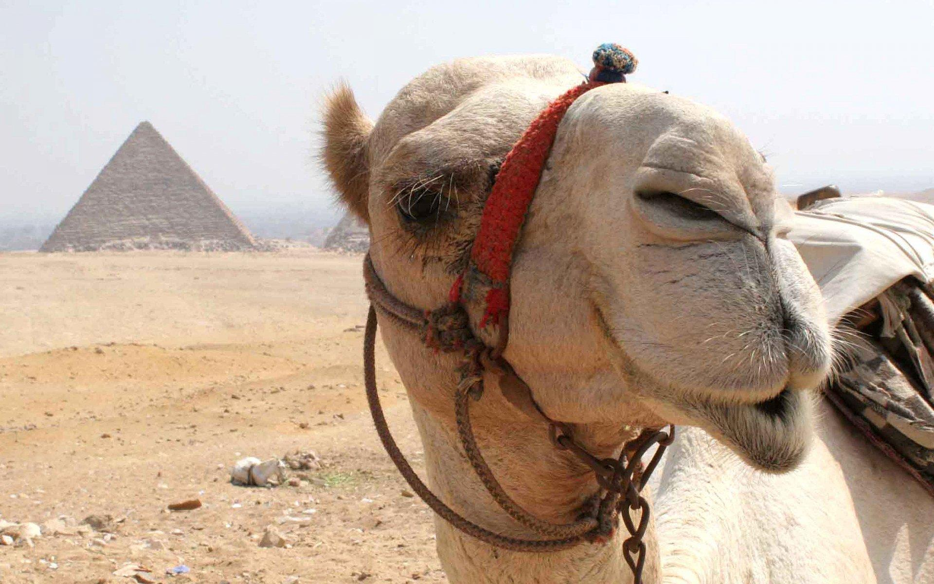 50 Camel HD Wallpapers