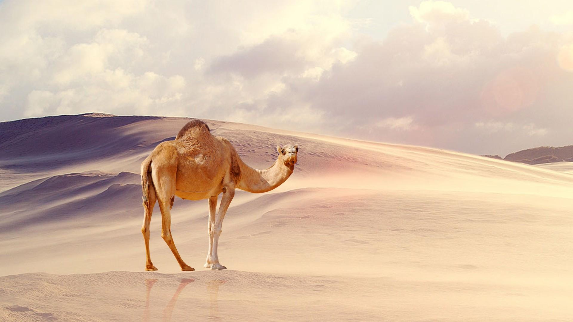 Camel Wallpapers HD Backgrounds, Image, Pics, Photos Free Download