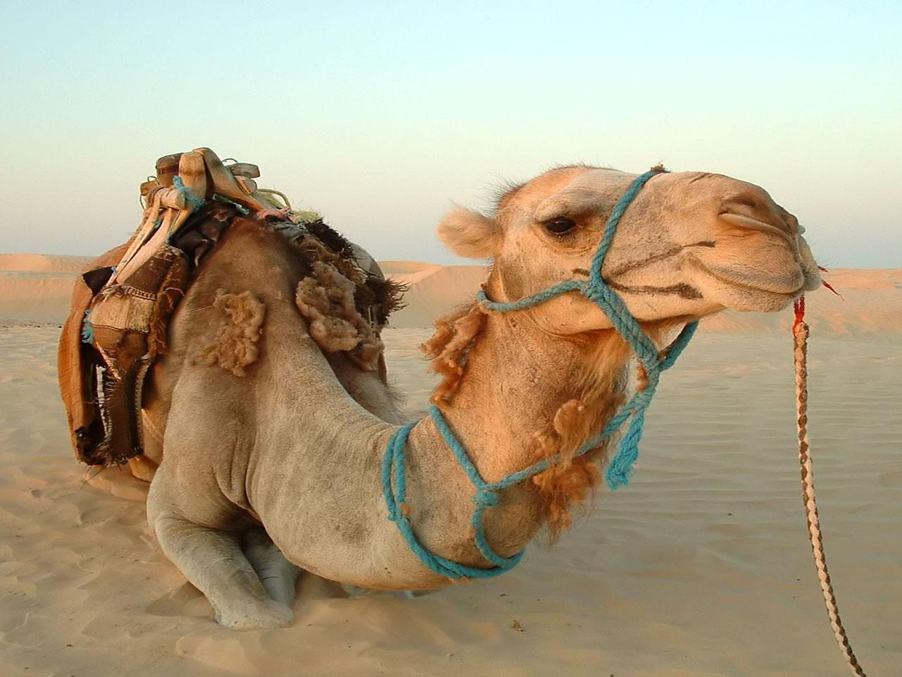 Camel Animal Photo Wallpapers