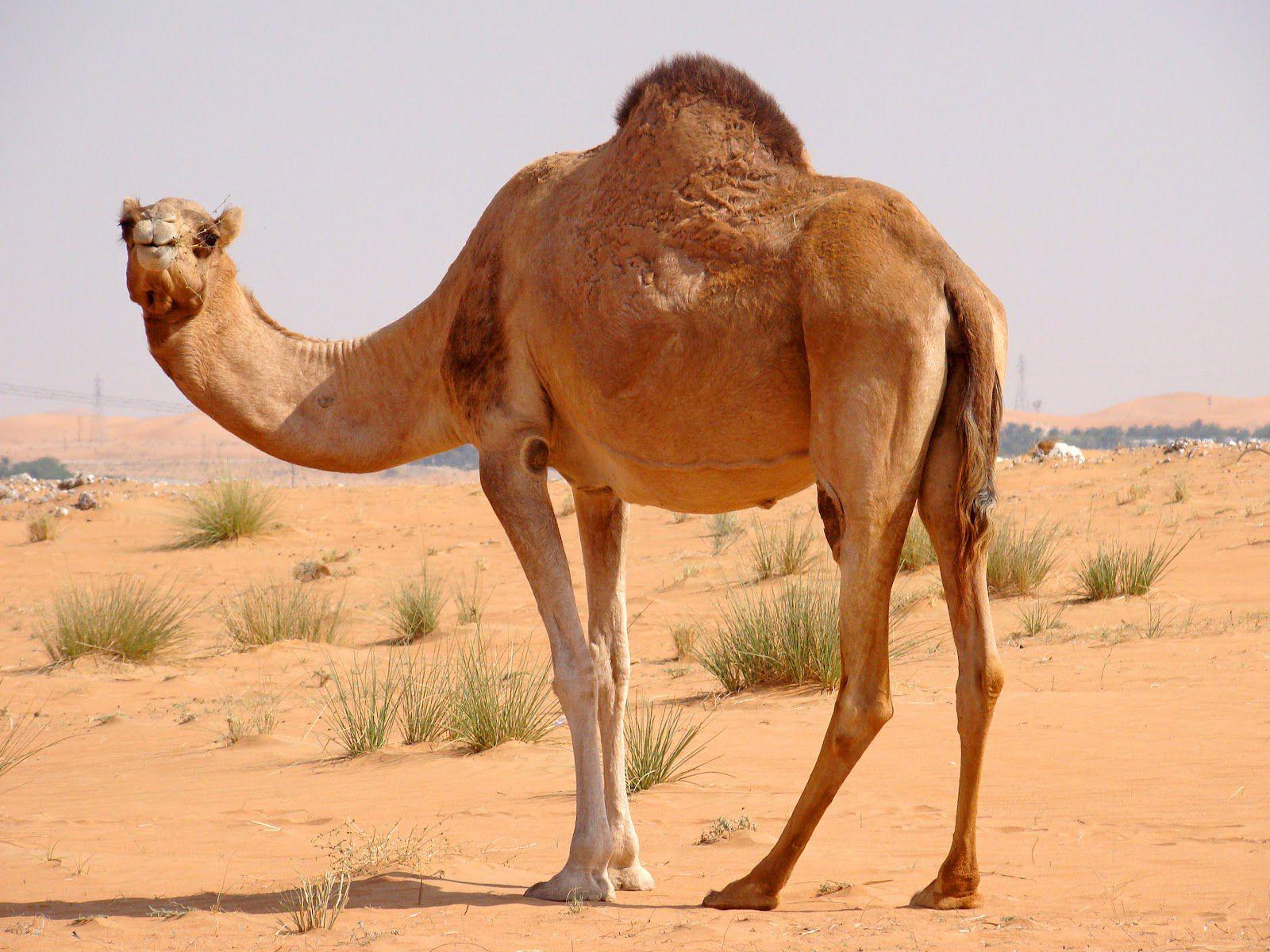 Camel Wallpapers HD Pictures