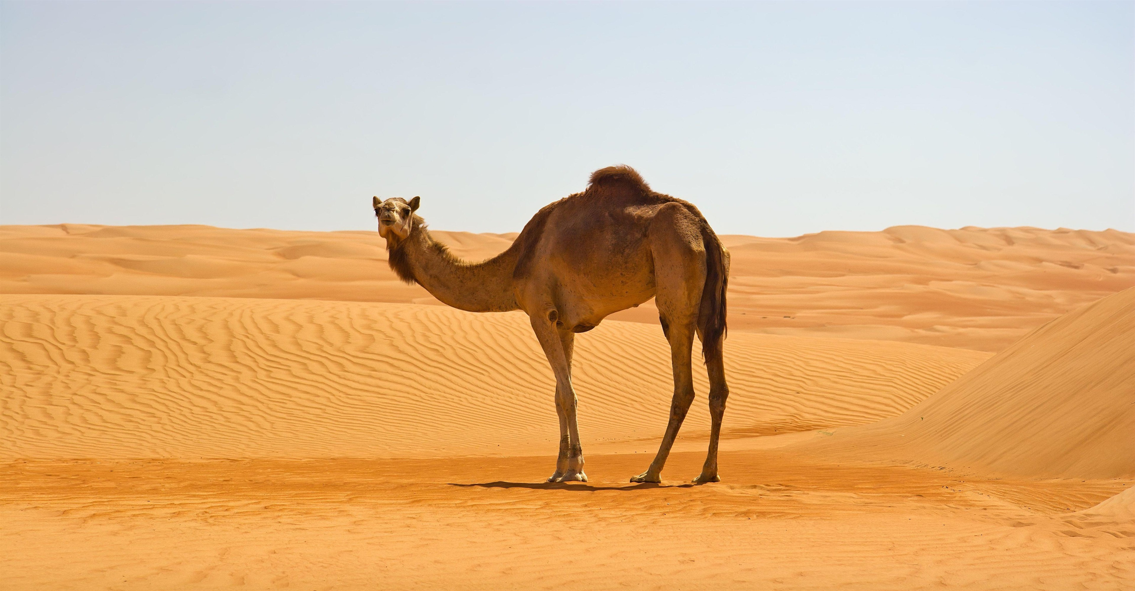 Camel in Namib Desert 4K Wallpapers
