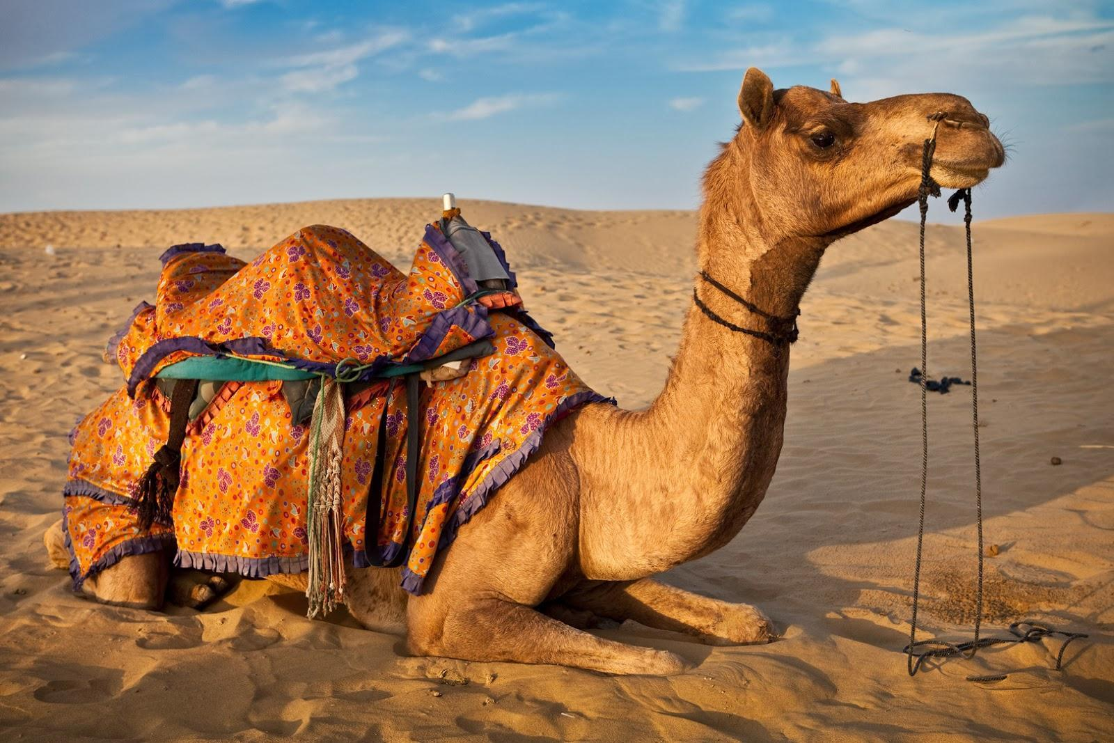 Camel Wallpapers 14