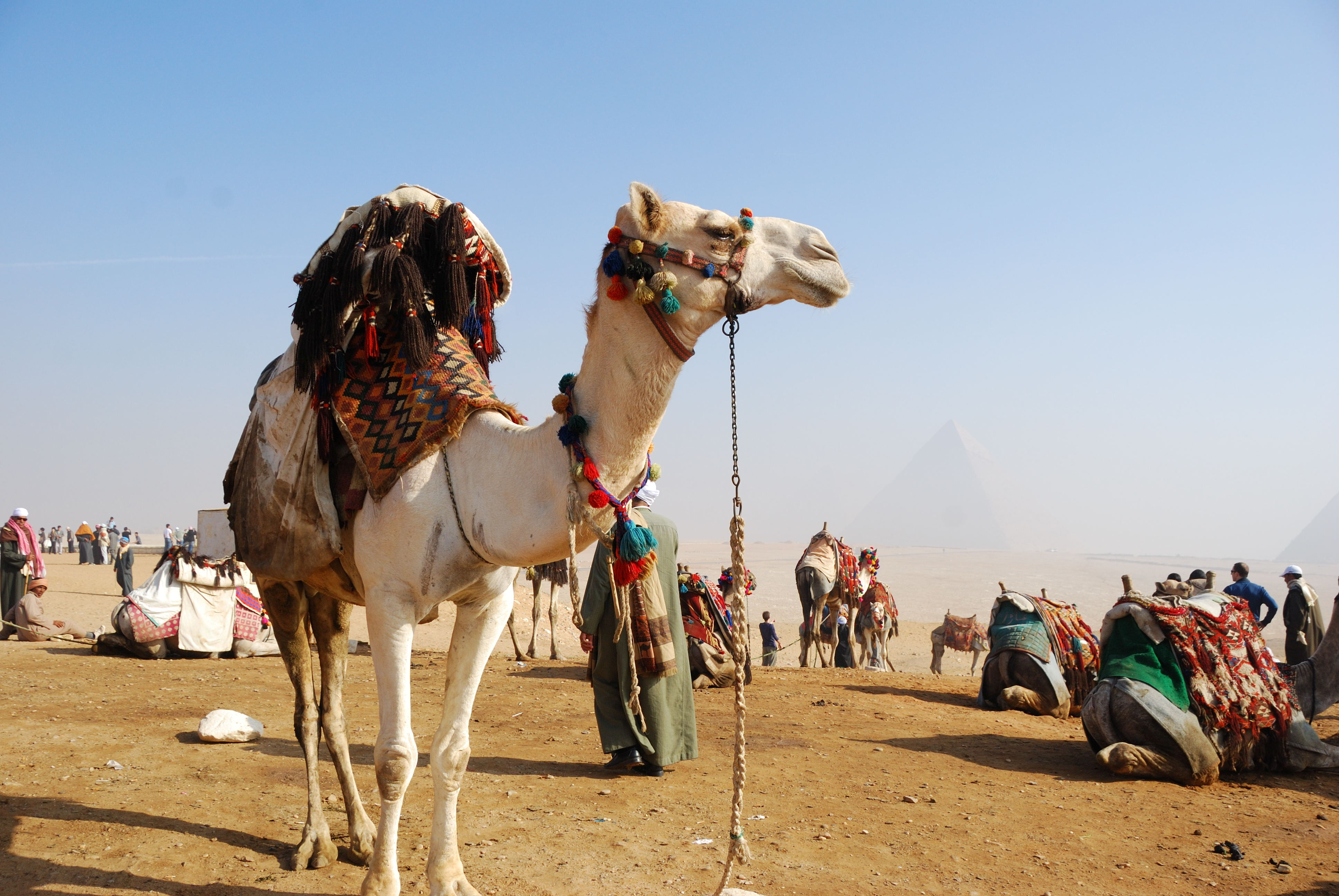 Camel for Riding in Egypt Country HD Animal Wallpapers