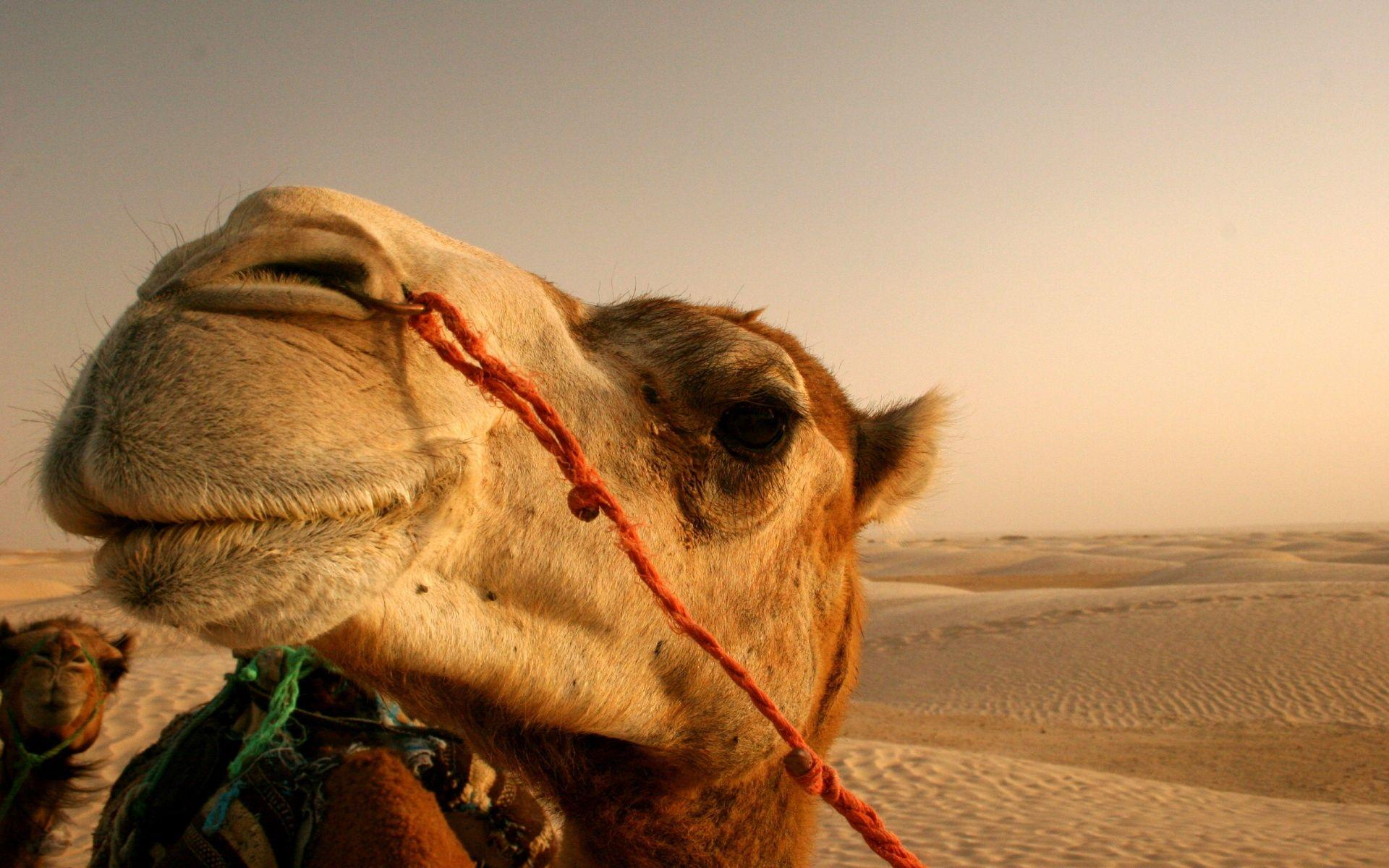 Camel Wallpapers HD Full HD Pictures 1920×1200 Camel Pictures