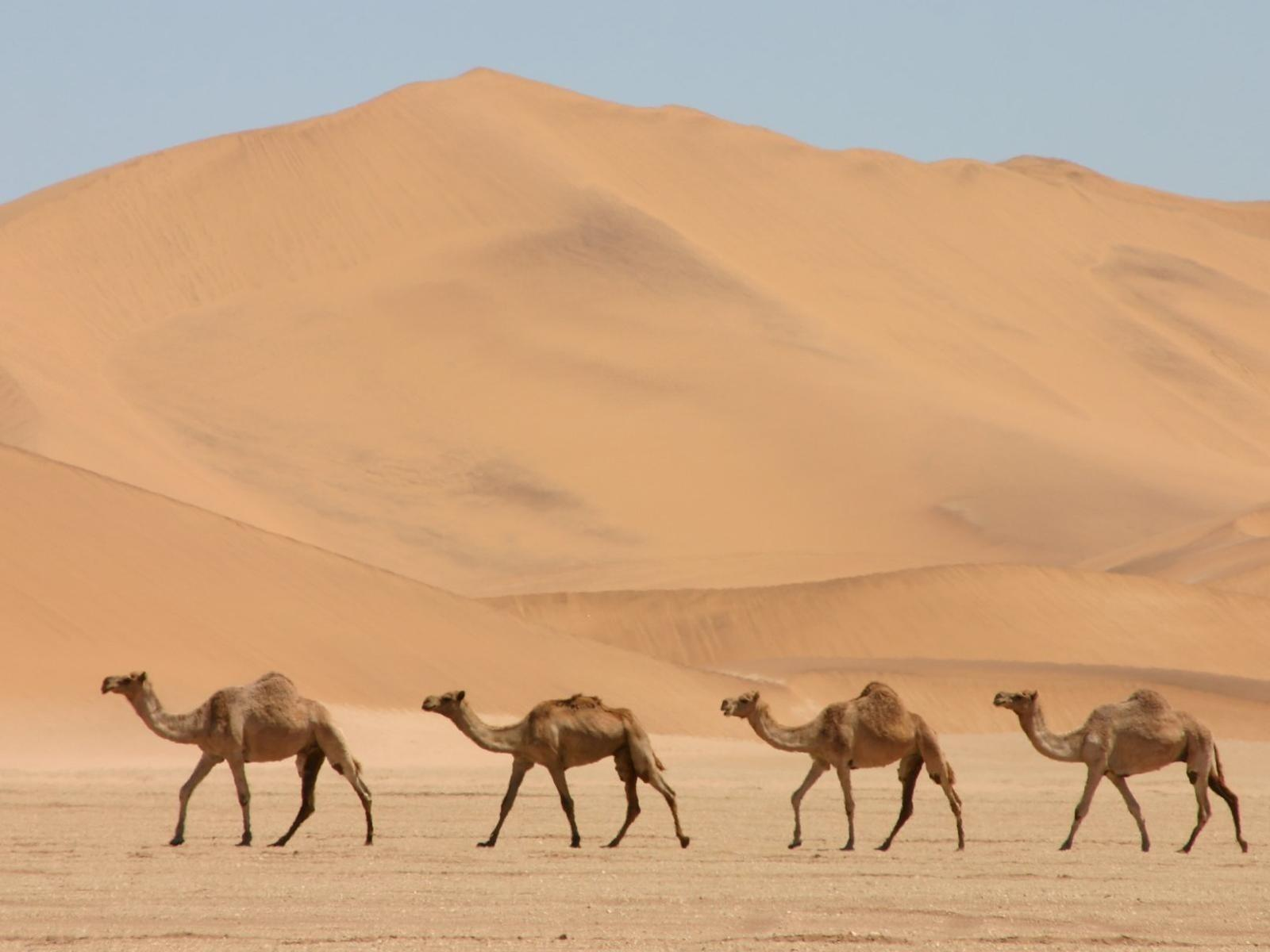Camel Wallpapers 6