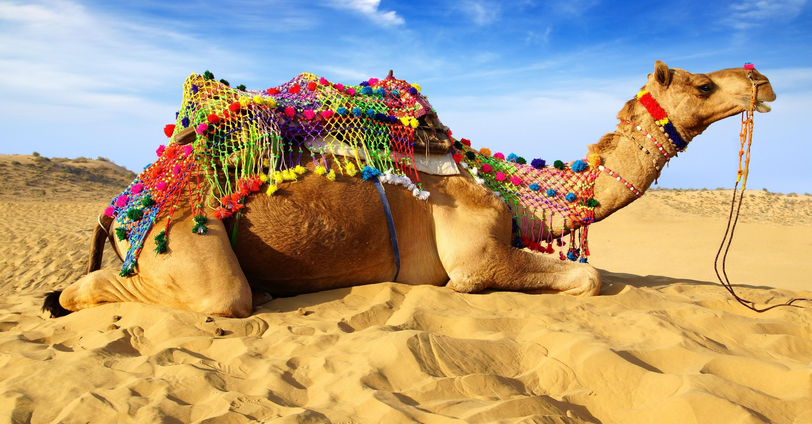 Download 2680x1400 Camel, Desert, Lying Down, Sand Wallpapers