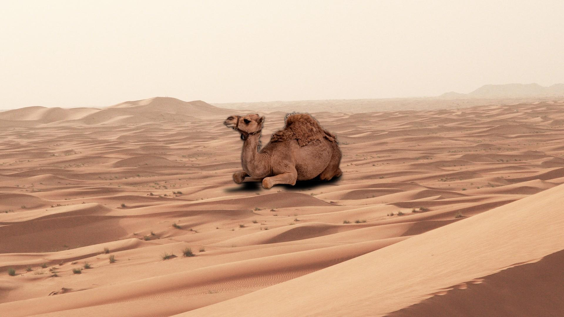Camel Backgrounds Wallpapers 29010