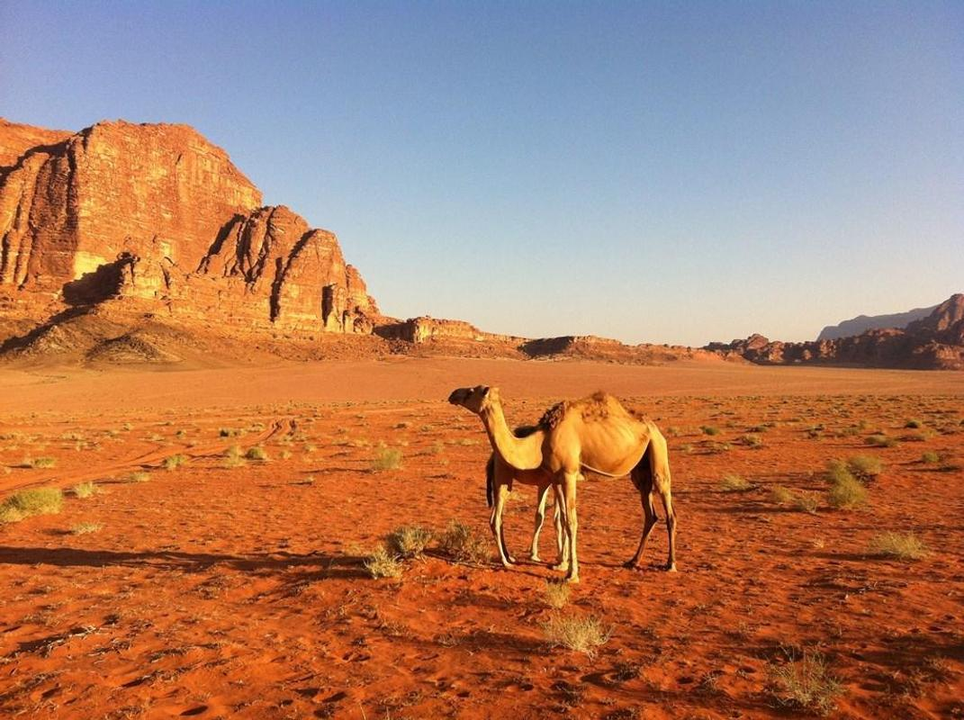 Camel Wallpapers for Android