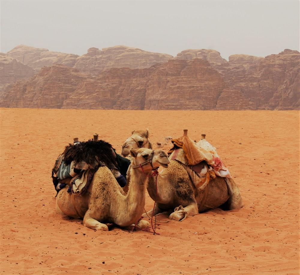 100+ Camel Pictures [HD]