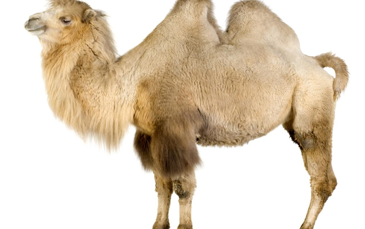 Camel on white wallpapers