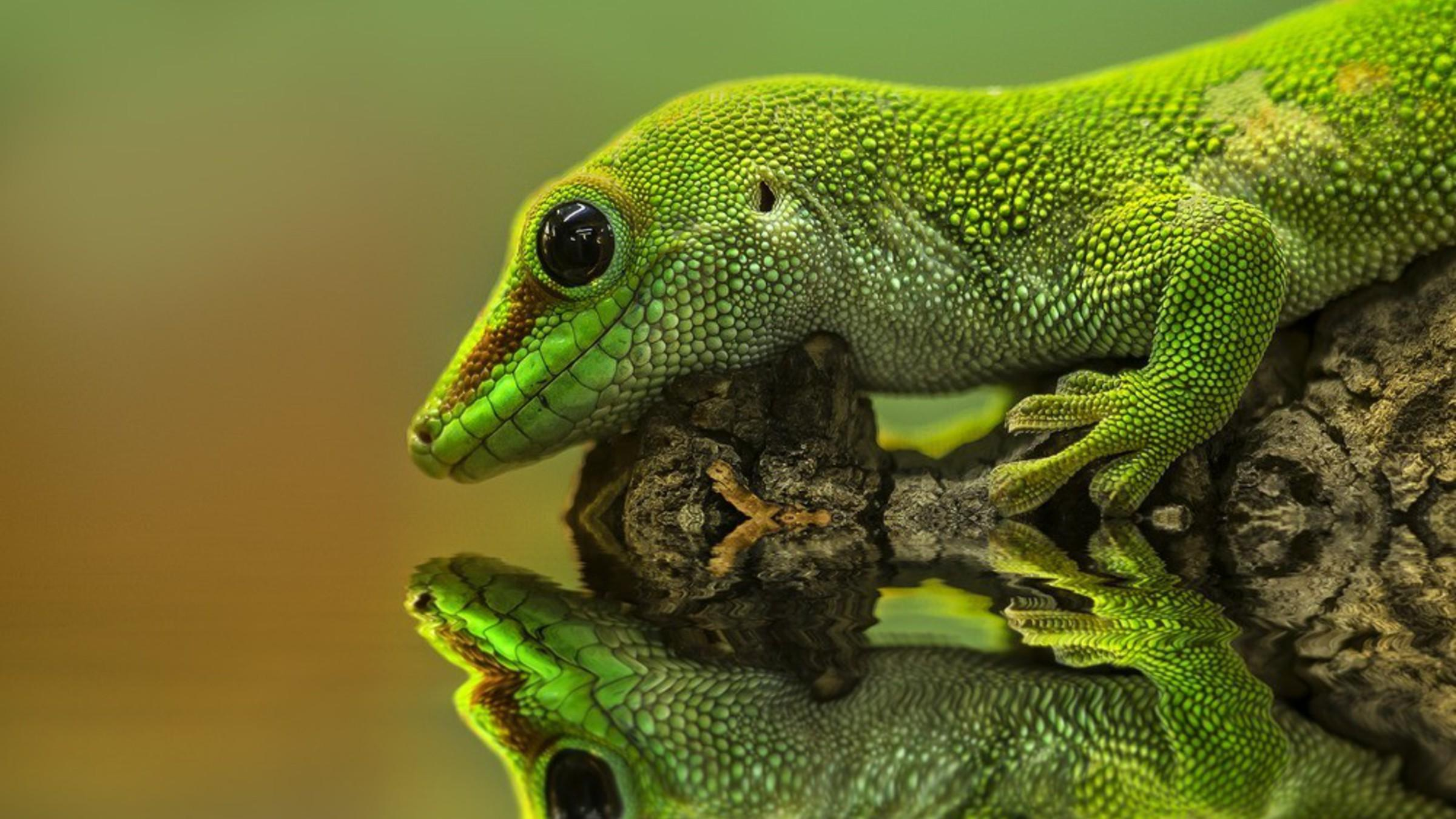 Gecko reptiles reflections wallpapers
