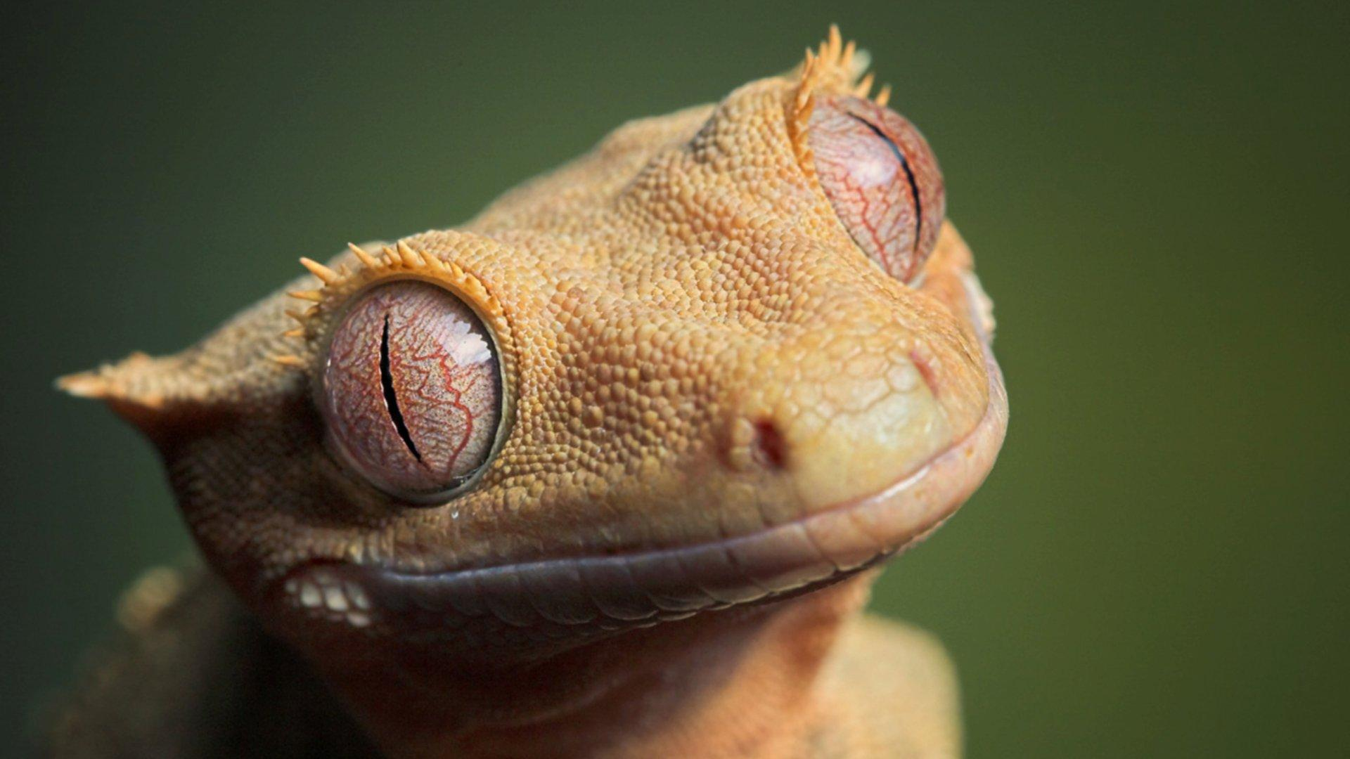 Gecko HD Wallpapers » FullHDWpp