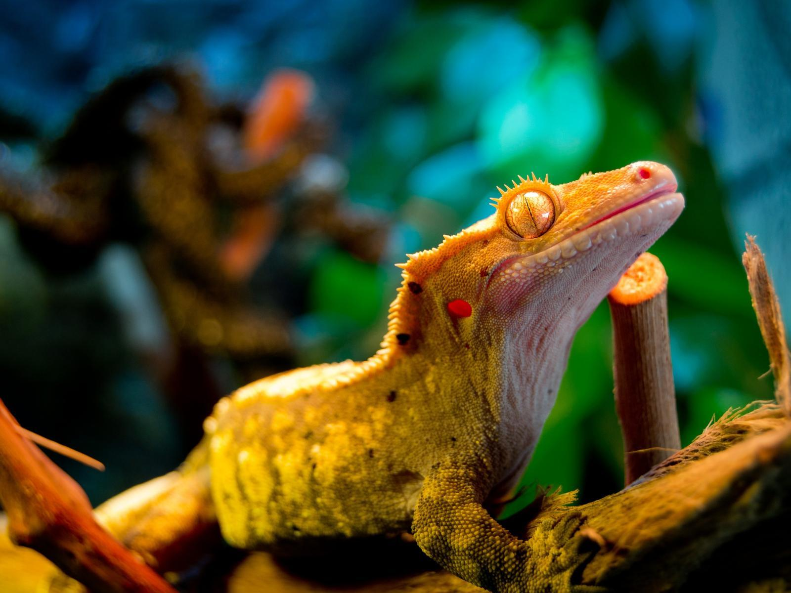 Gecko Wallpapers 1