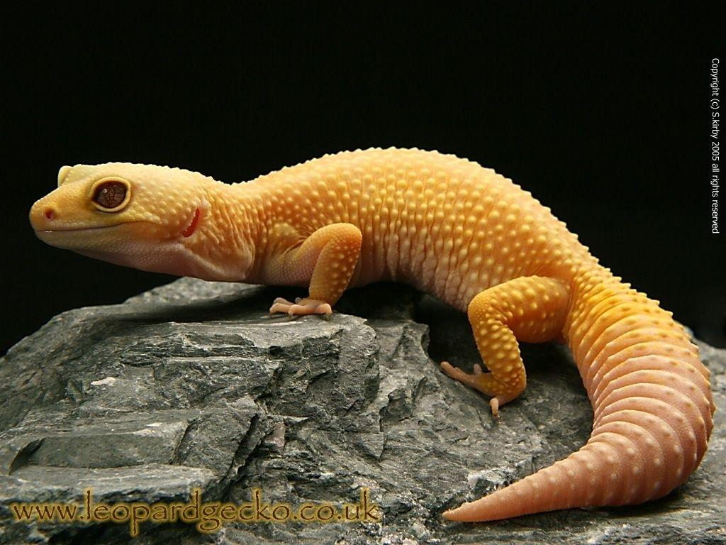 Download Gecko Leopard Wallpapers