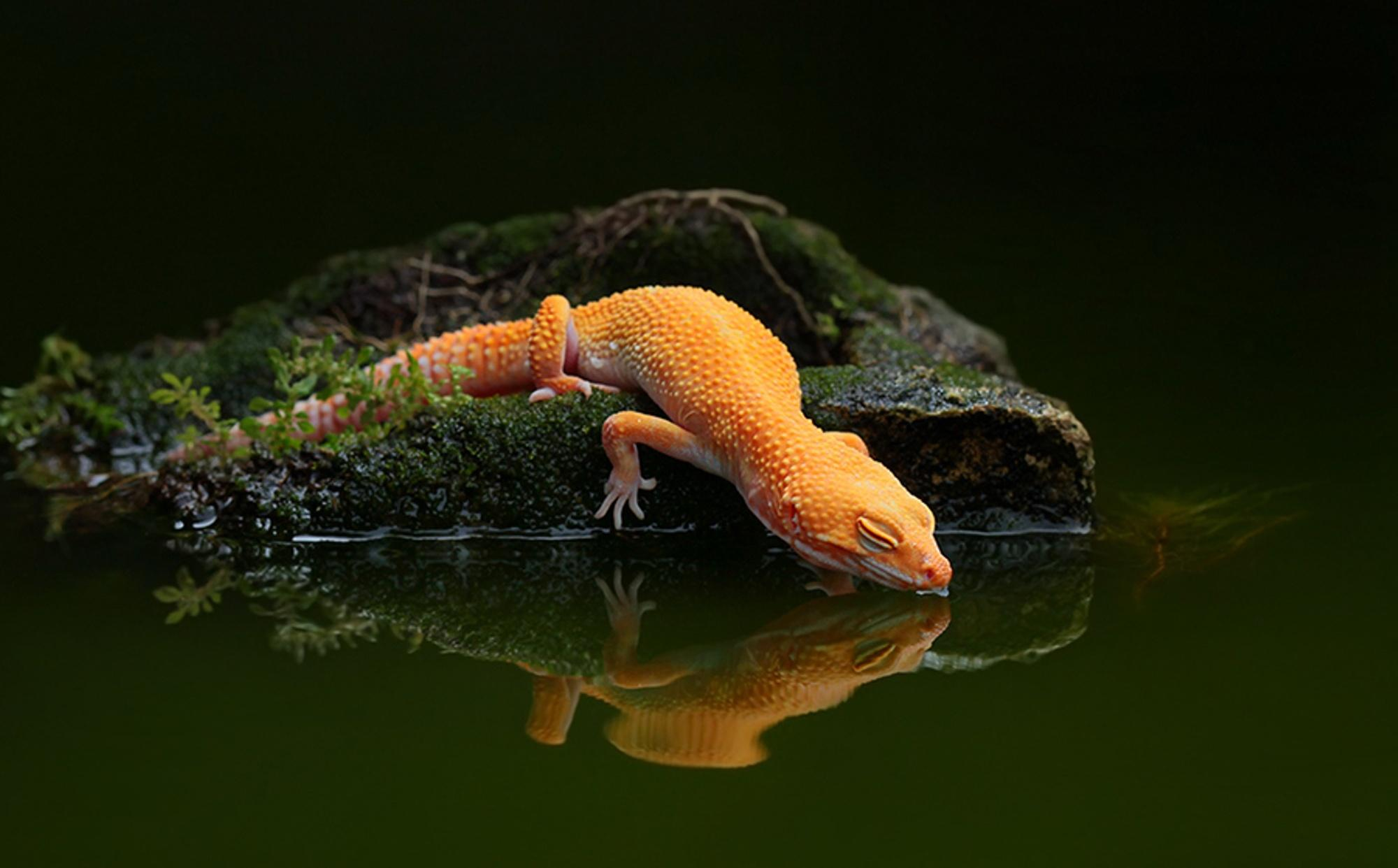 lizard, Water, Reflection, Water, Gecko Wallpapers HD / Desktop and
