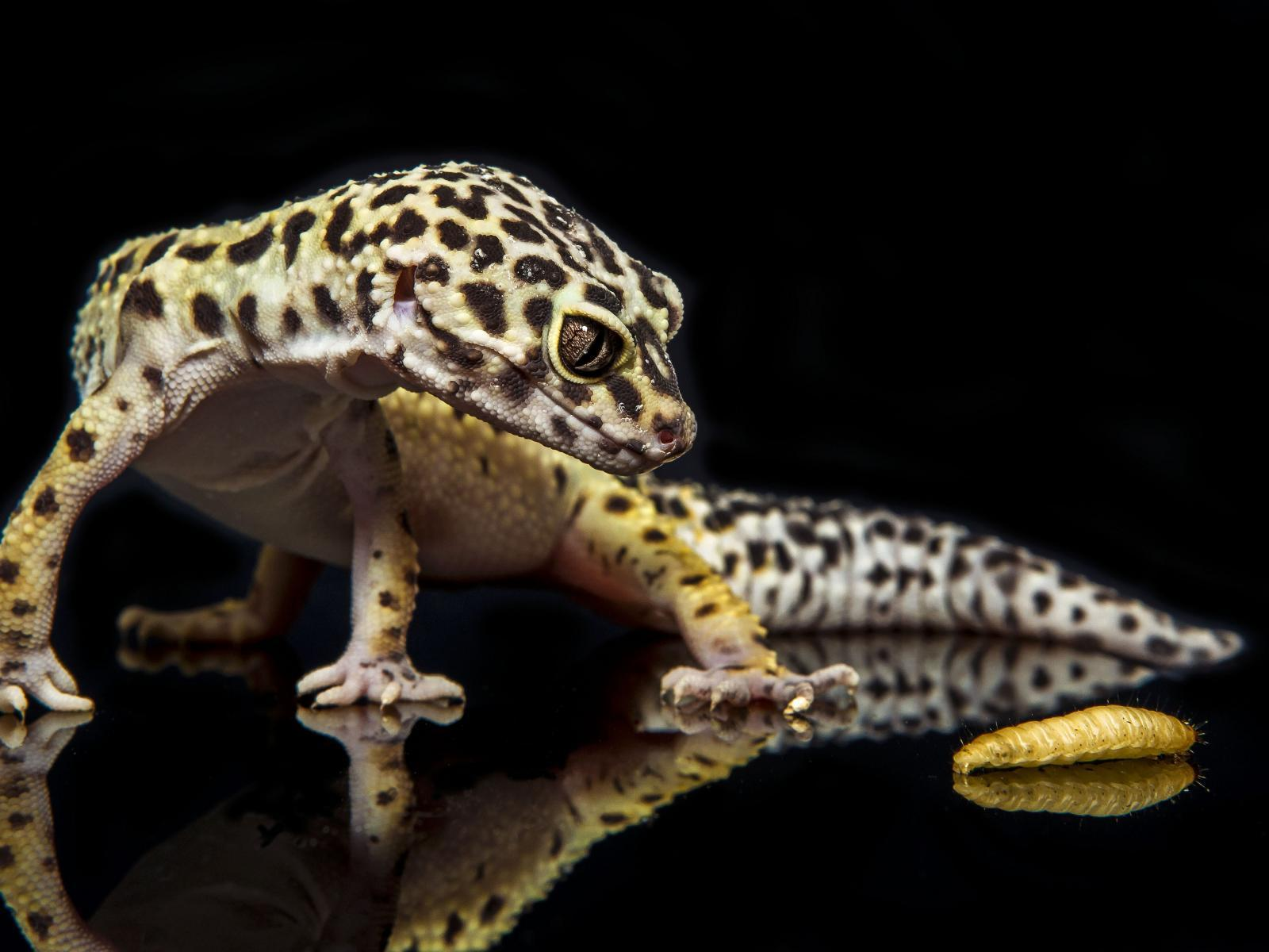 Gecko Wallpapers 5