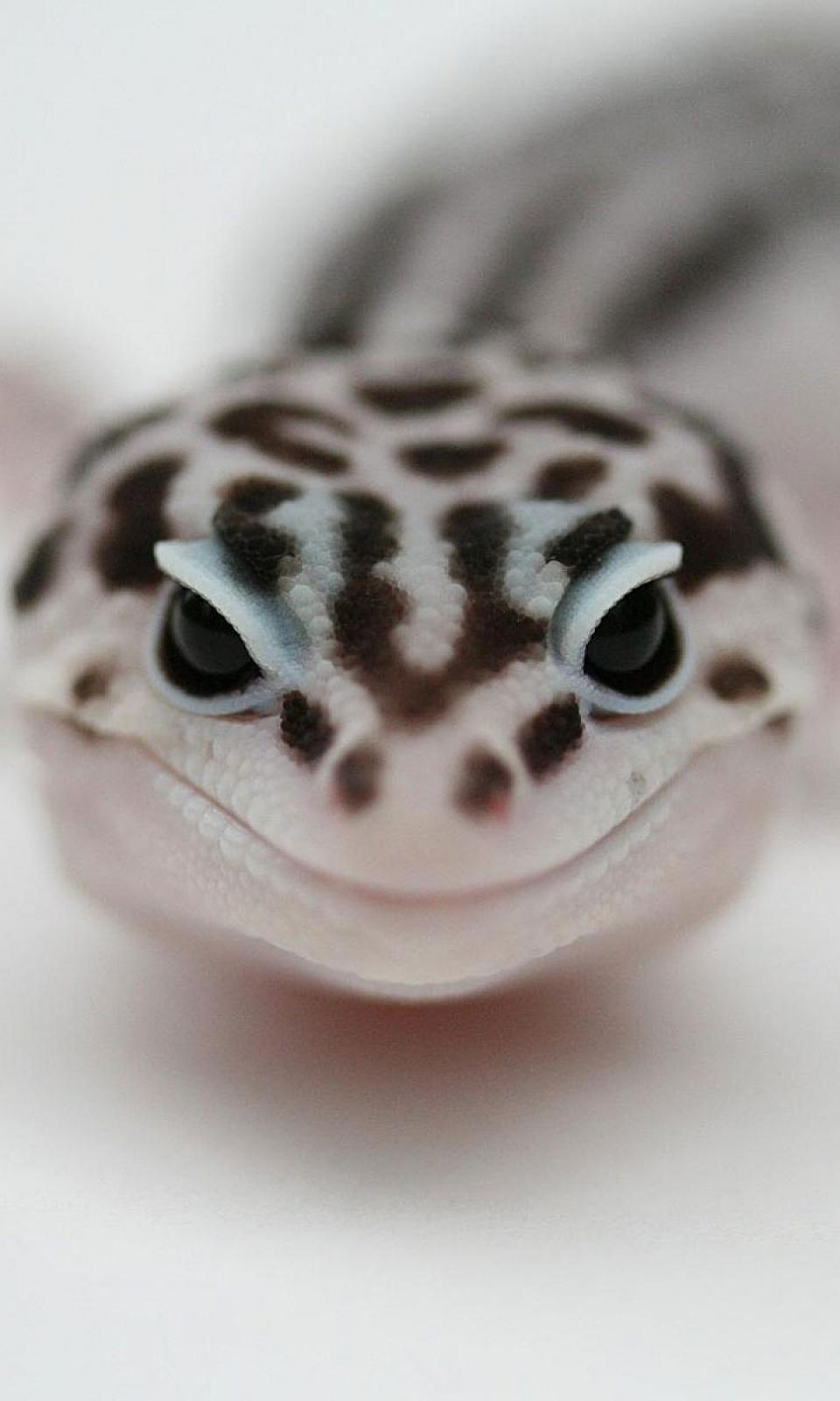 Leopard Gecko Wallpapers, By May Barnett