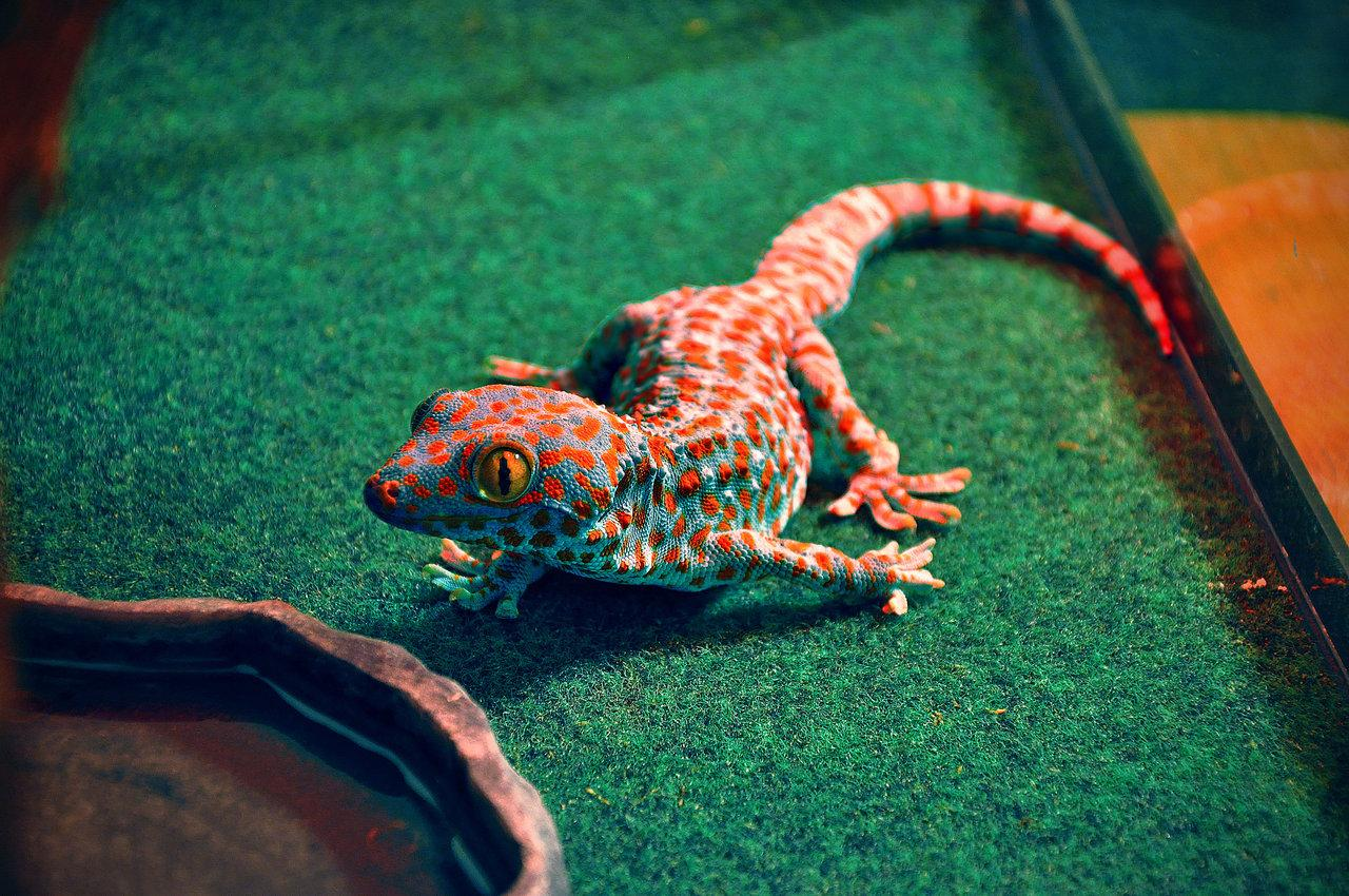 Gecko Wallpapers High Resolution