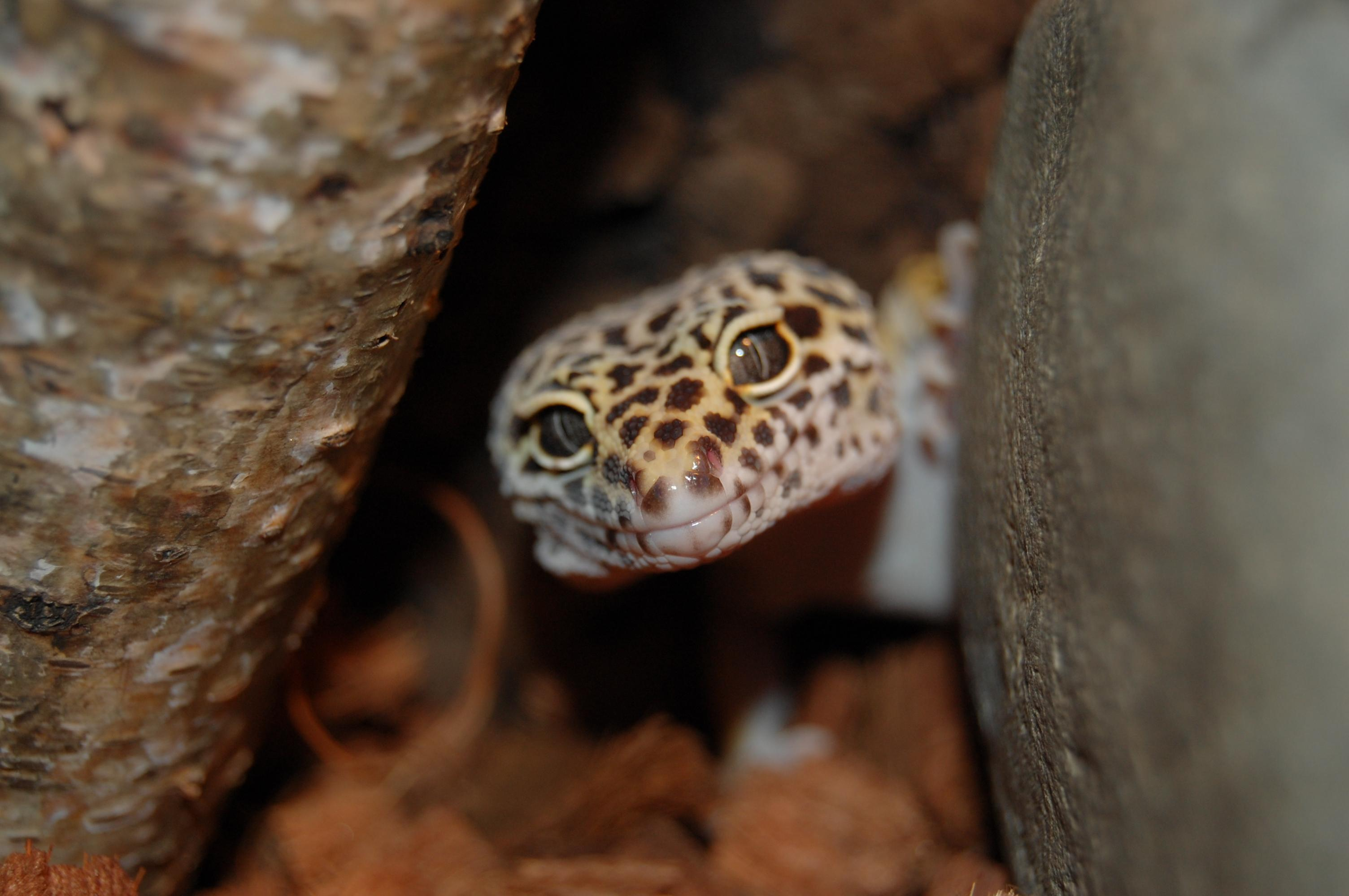 Leopard Gecko Wallpapers HD Download