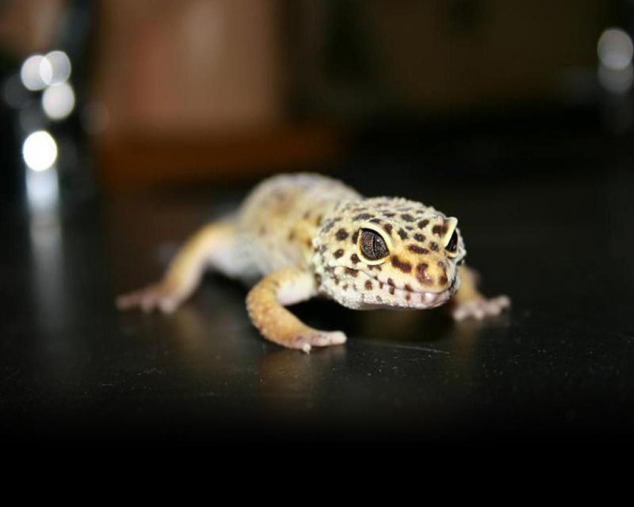 Leopard Gecko Wallpapers Wallimpex