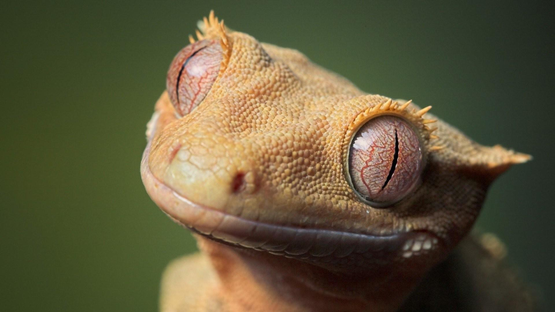 Gecko Wallpapers 23