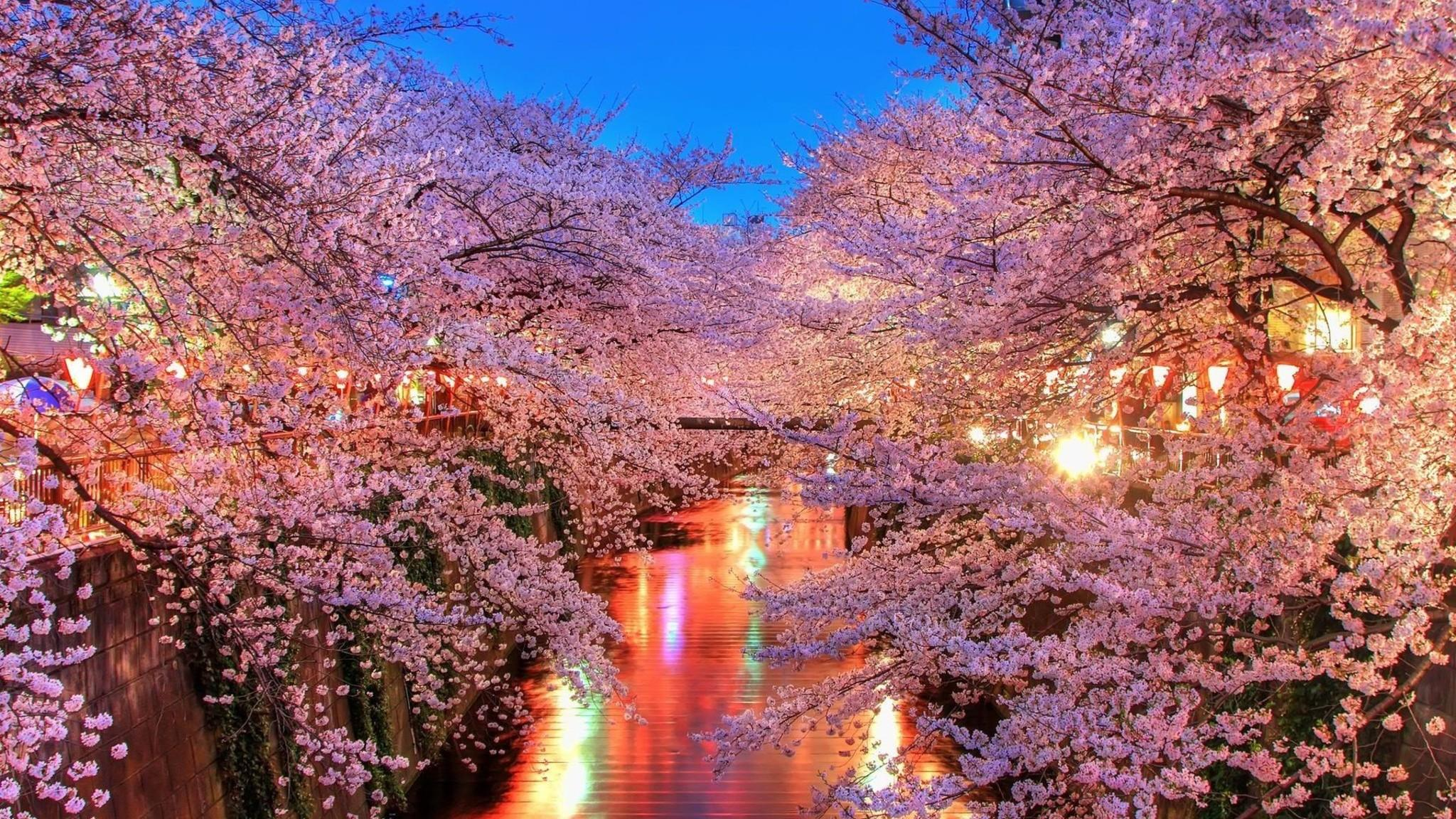 2048x1152 Cherry Blossom Trees 2048x1152 Resolution HD 4k Wallpapers